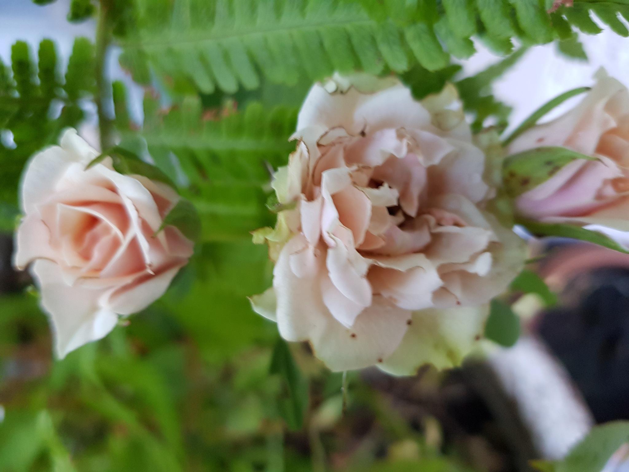 Tearoses in pink by Justmetoo