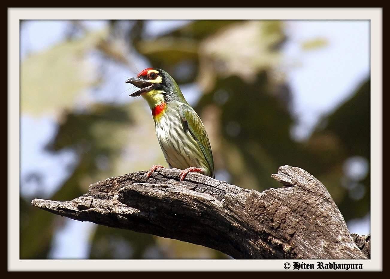 Bird ID: Coppersmith Barbet... by HitenRadhanpura