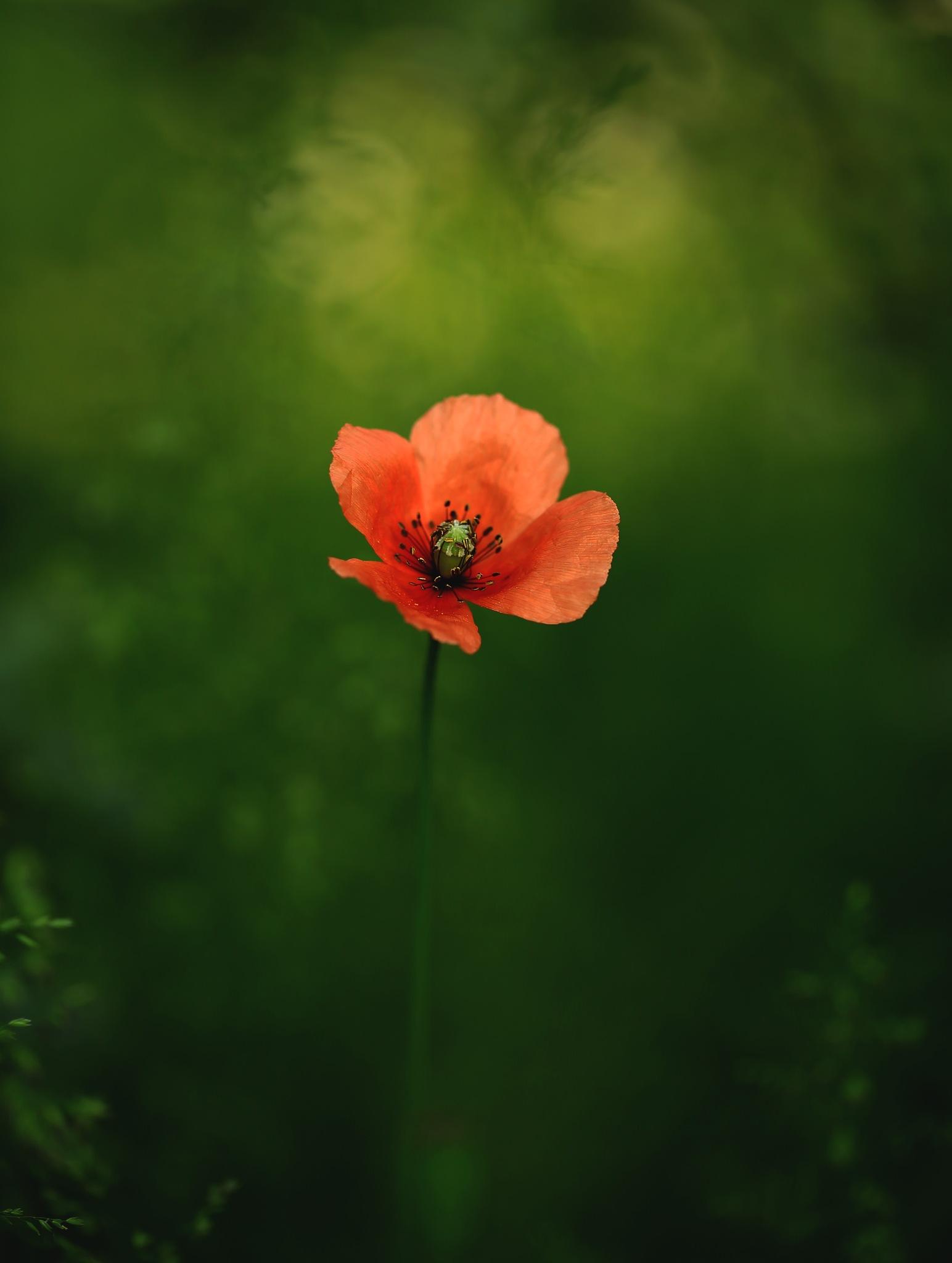 The poppy  by Lena Schöld