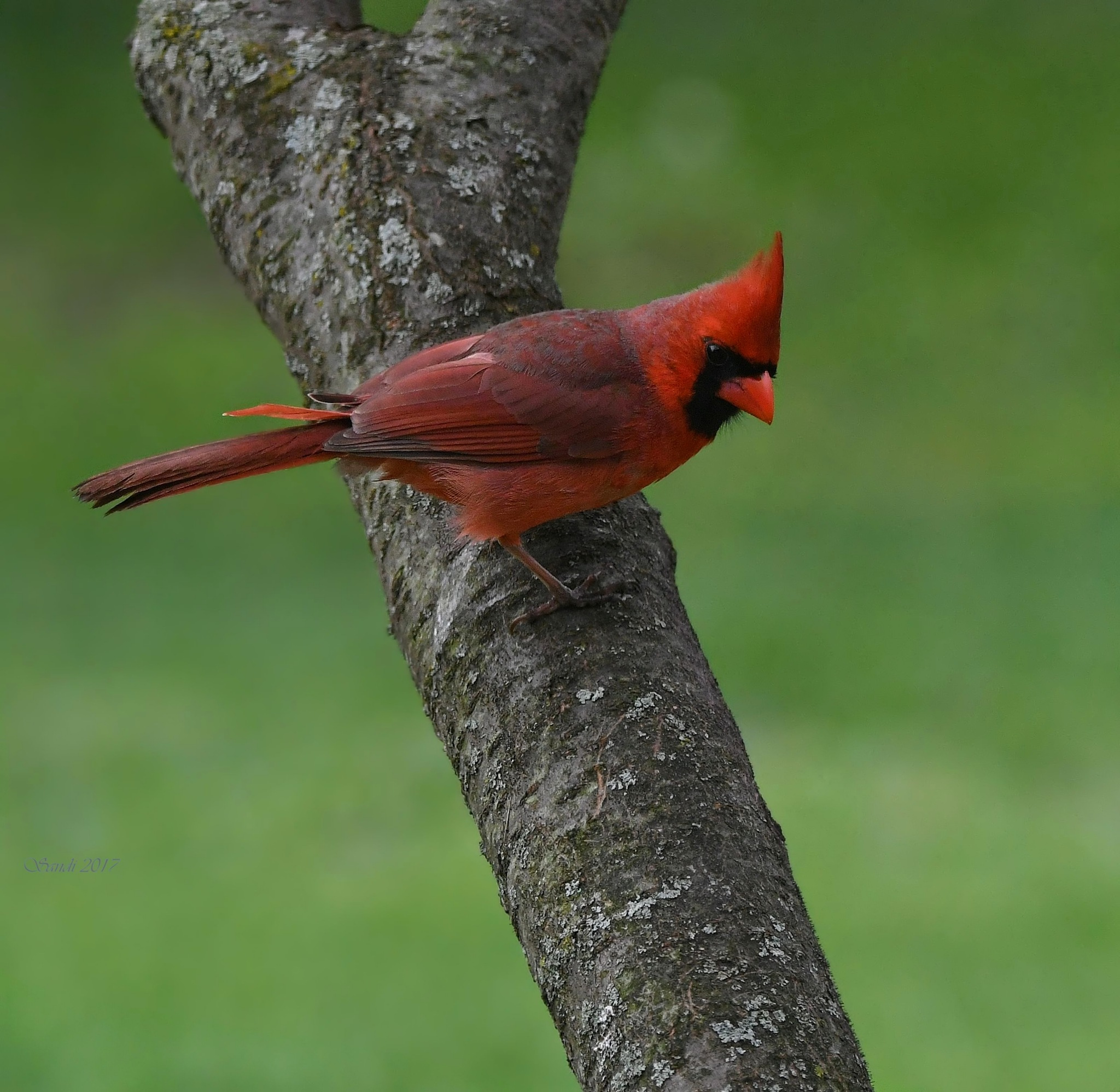 The Male Cardinal by tiggs
