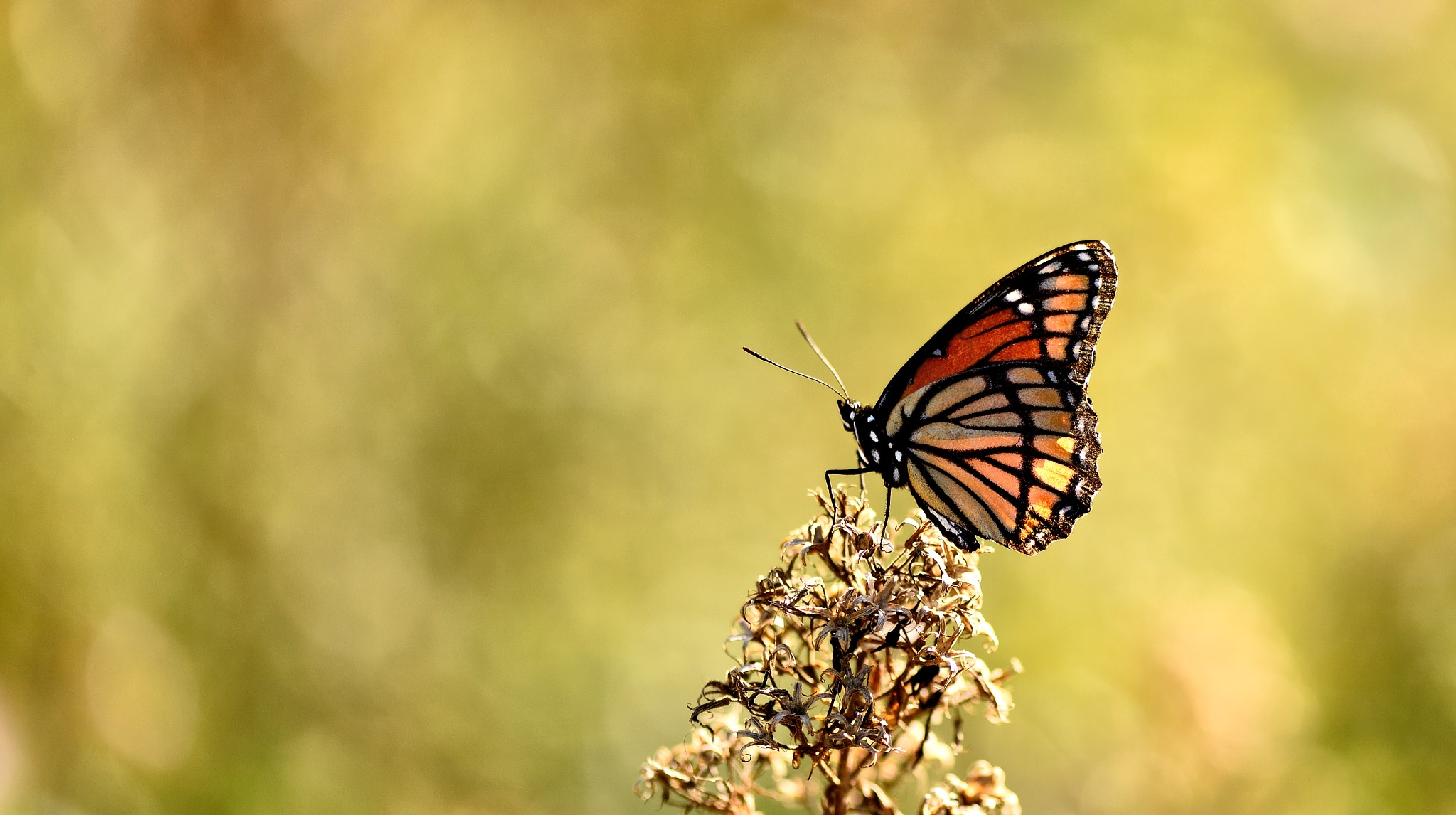 The Viceroy Butterfly by tiggs