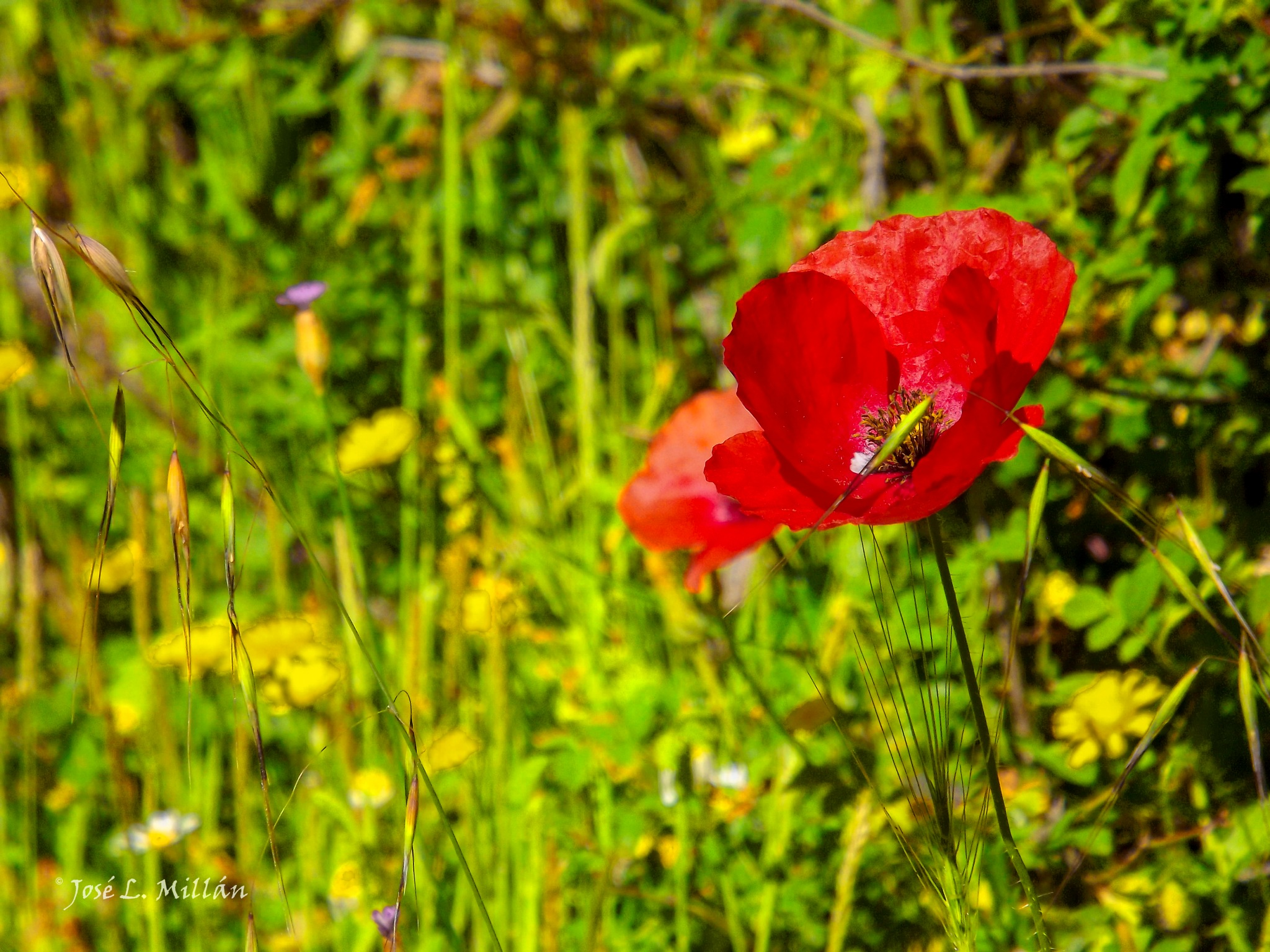 Simplement........Amapola by JlmmPhotos