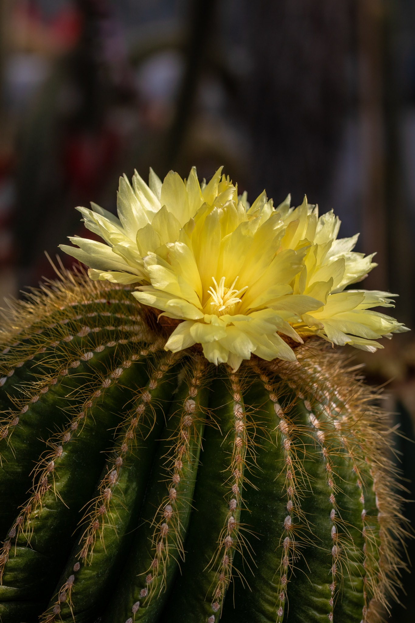 Kaktusblüte#2 by Sven Kuhn