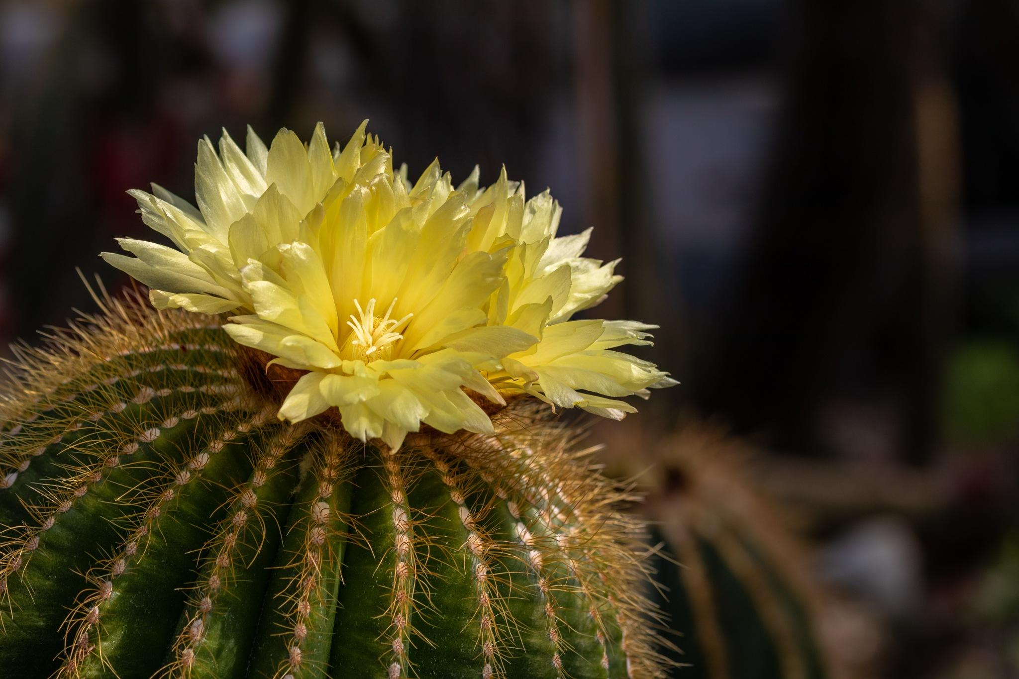 Kaktusblüte by Sven Kuhn