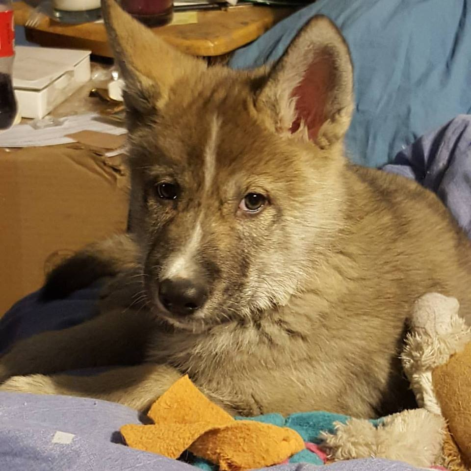 Wolfdog pup by Terri Gail Birdwell Jones