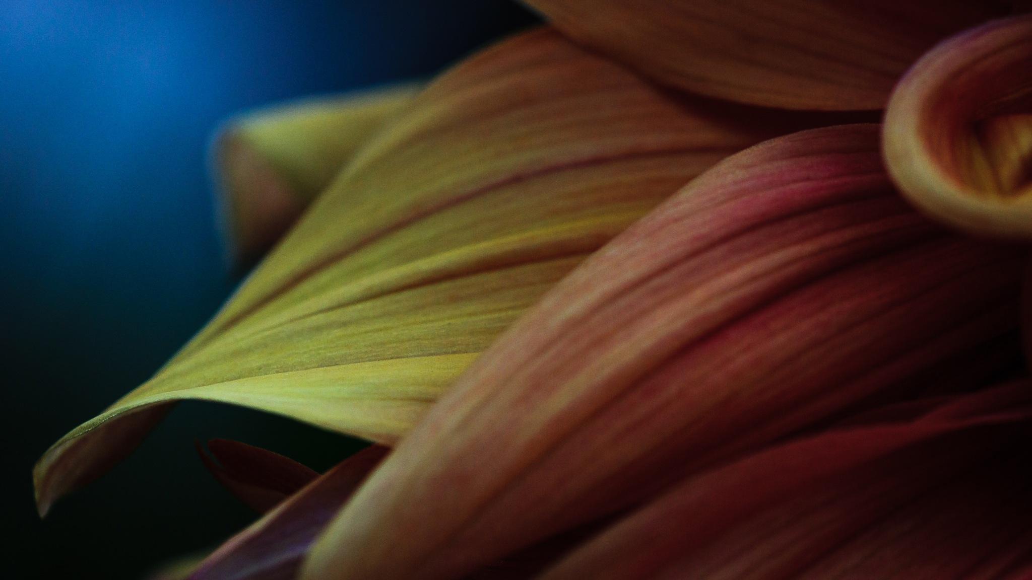 Flower petals close shot by Manuel Gomera Deaño