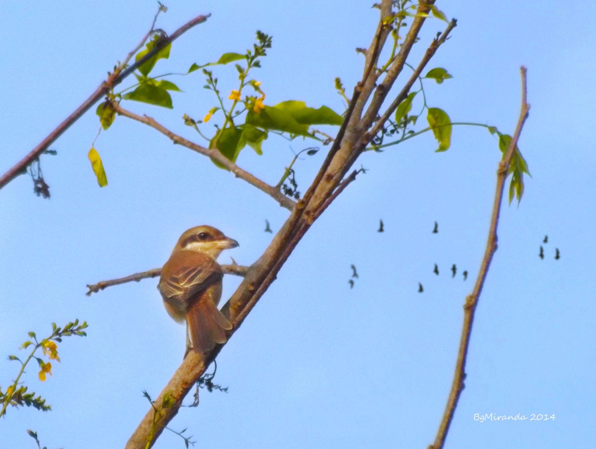 Tarat ( Shrike ) by Bernard Miranda