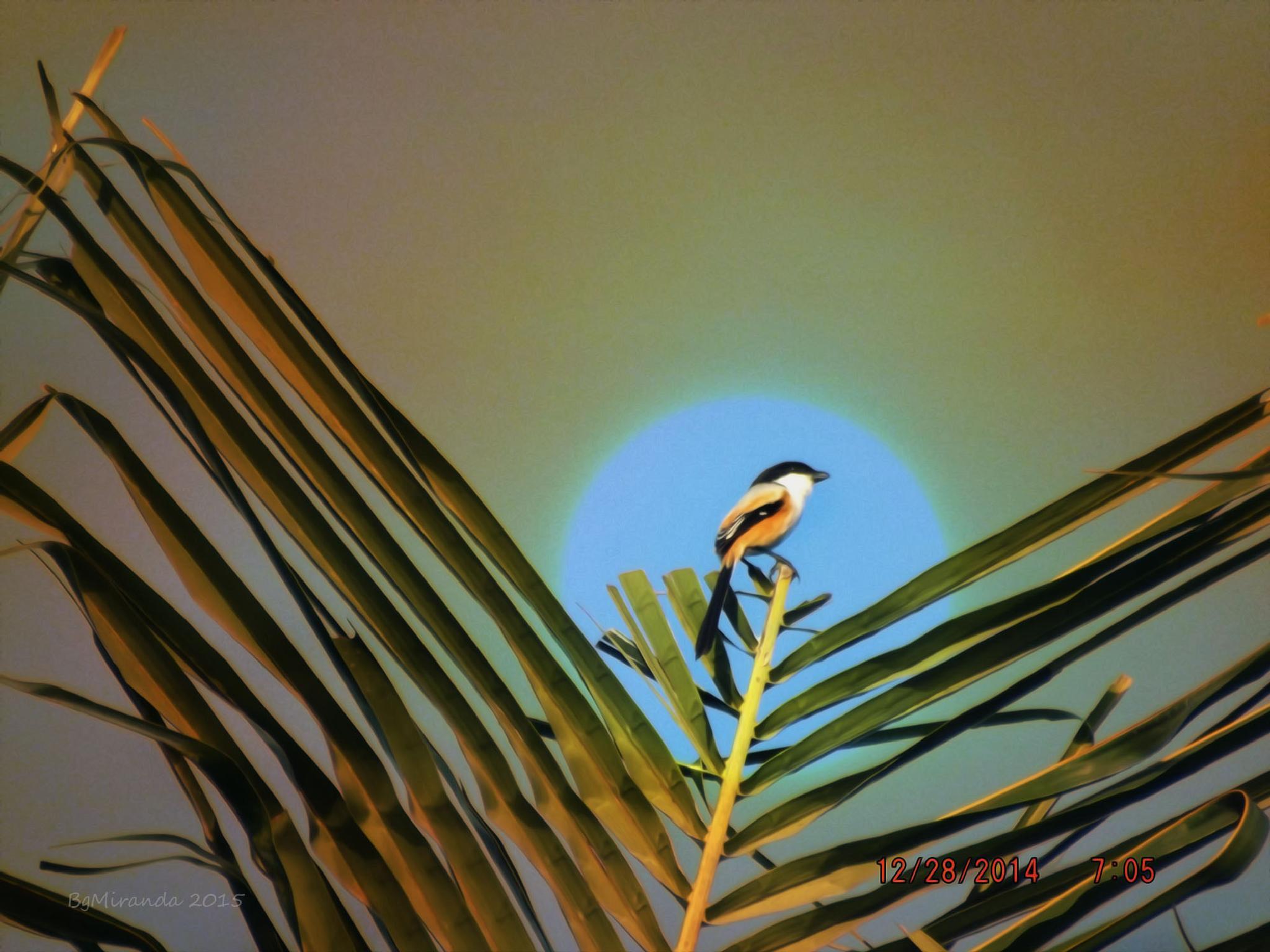 Sunrise Shrike by Bernard Miranda