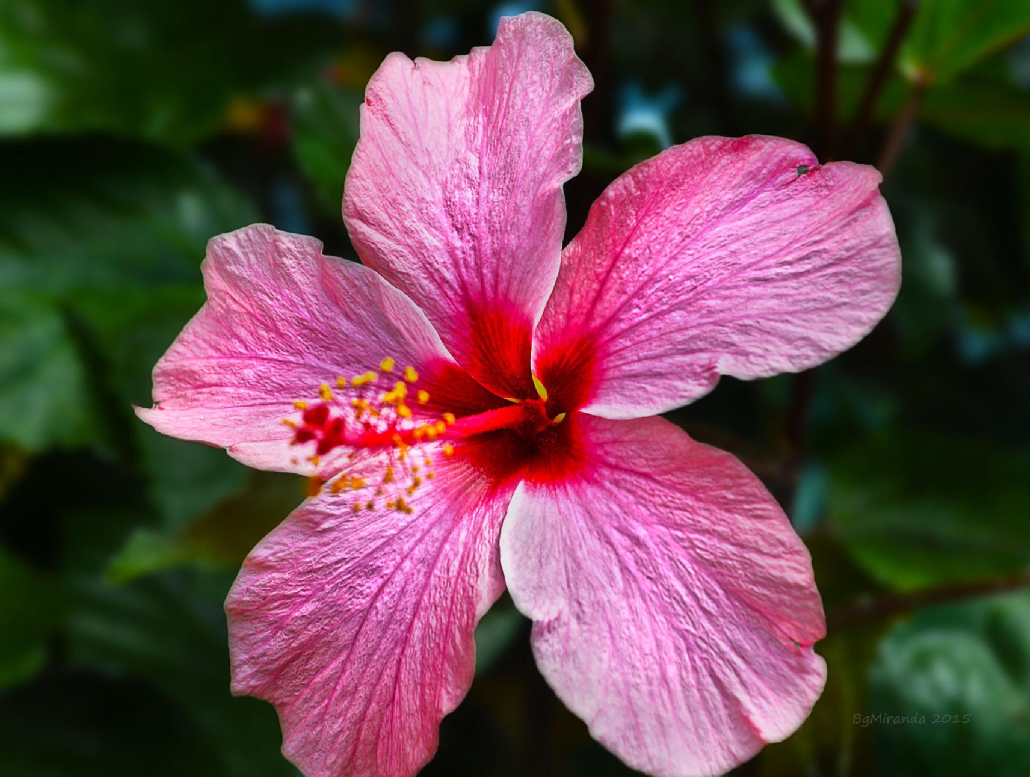 Pink Gumamela by Bernard Miranda