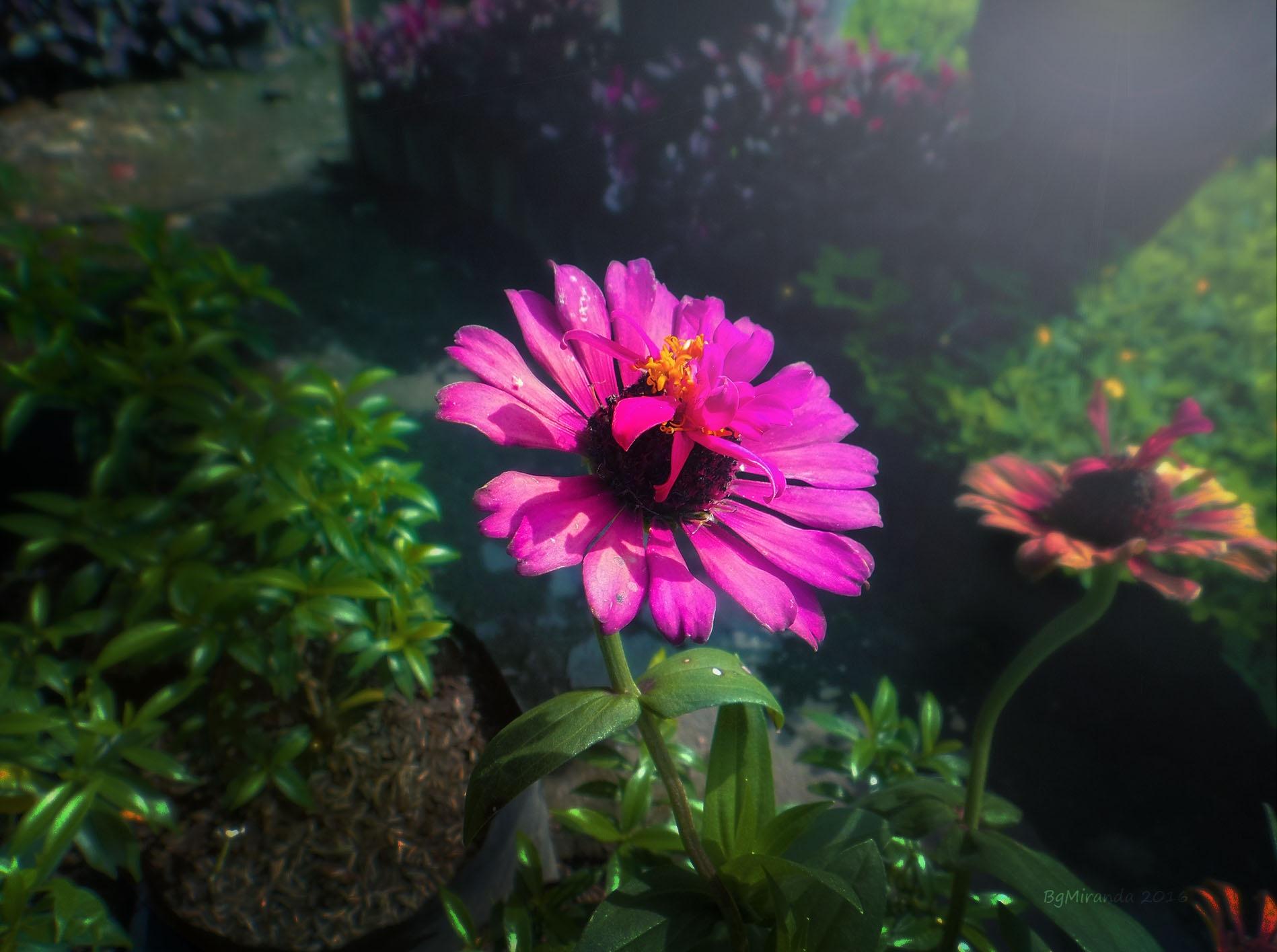 Pink Flower by Bernard Miranda