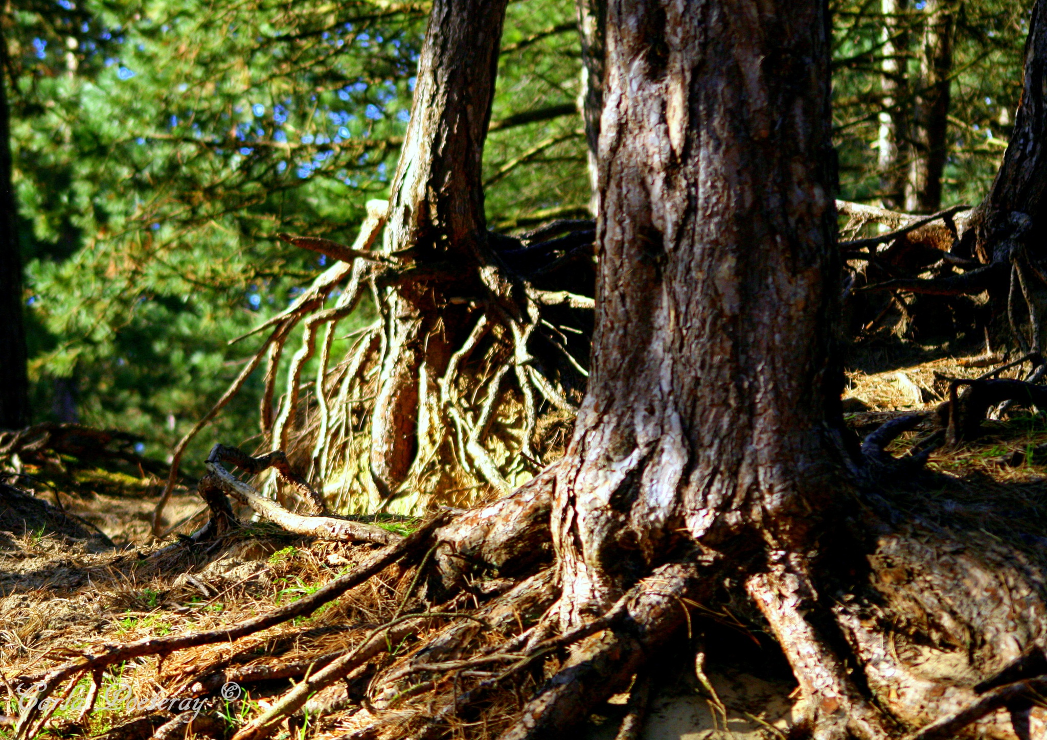 Roots by Cipo366