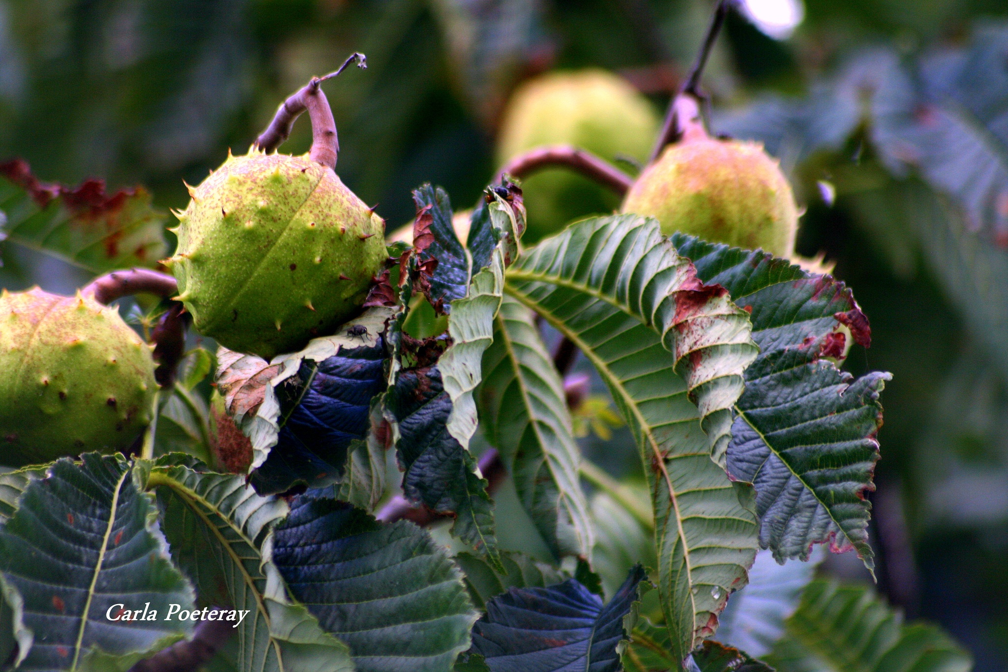 Chestnuts by Cipo366
