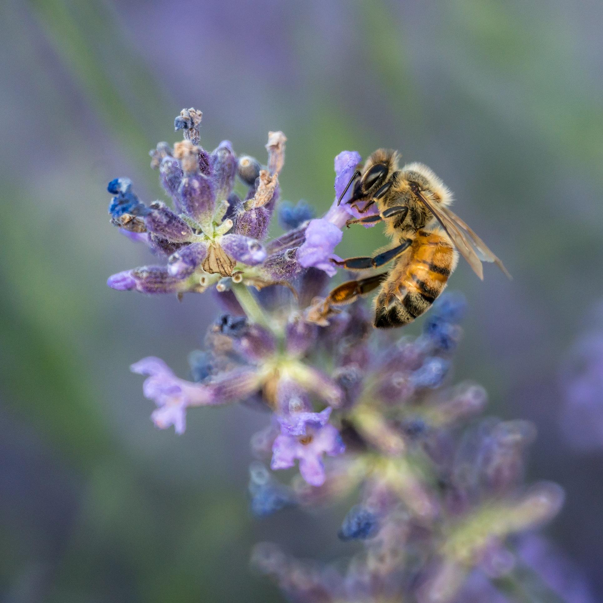 Lavender Honey Bee by Bret Little