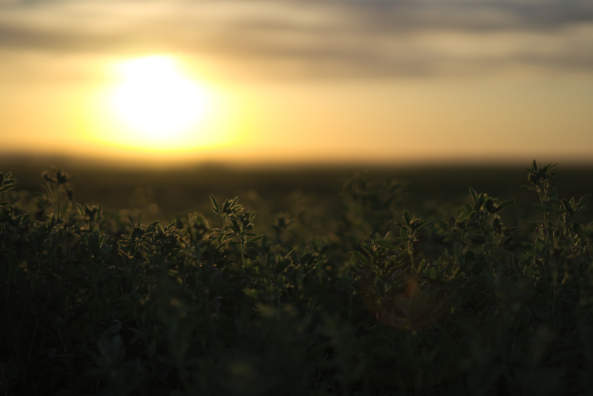 Evening Alfalfa by Bret Little