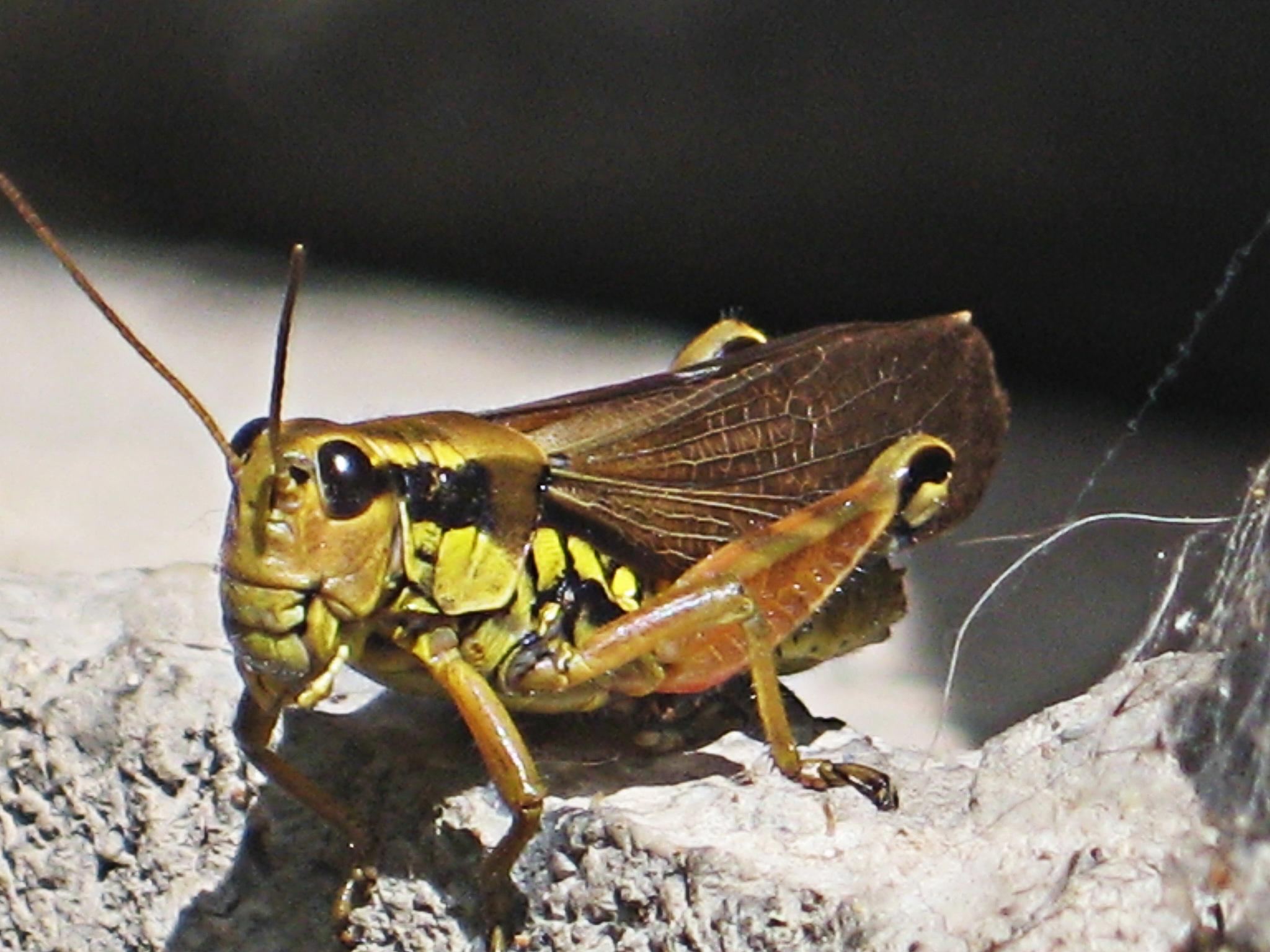 Locust by VeraMihajlovic