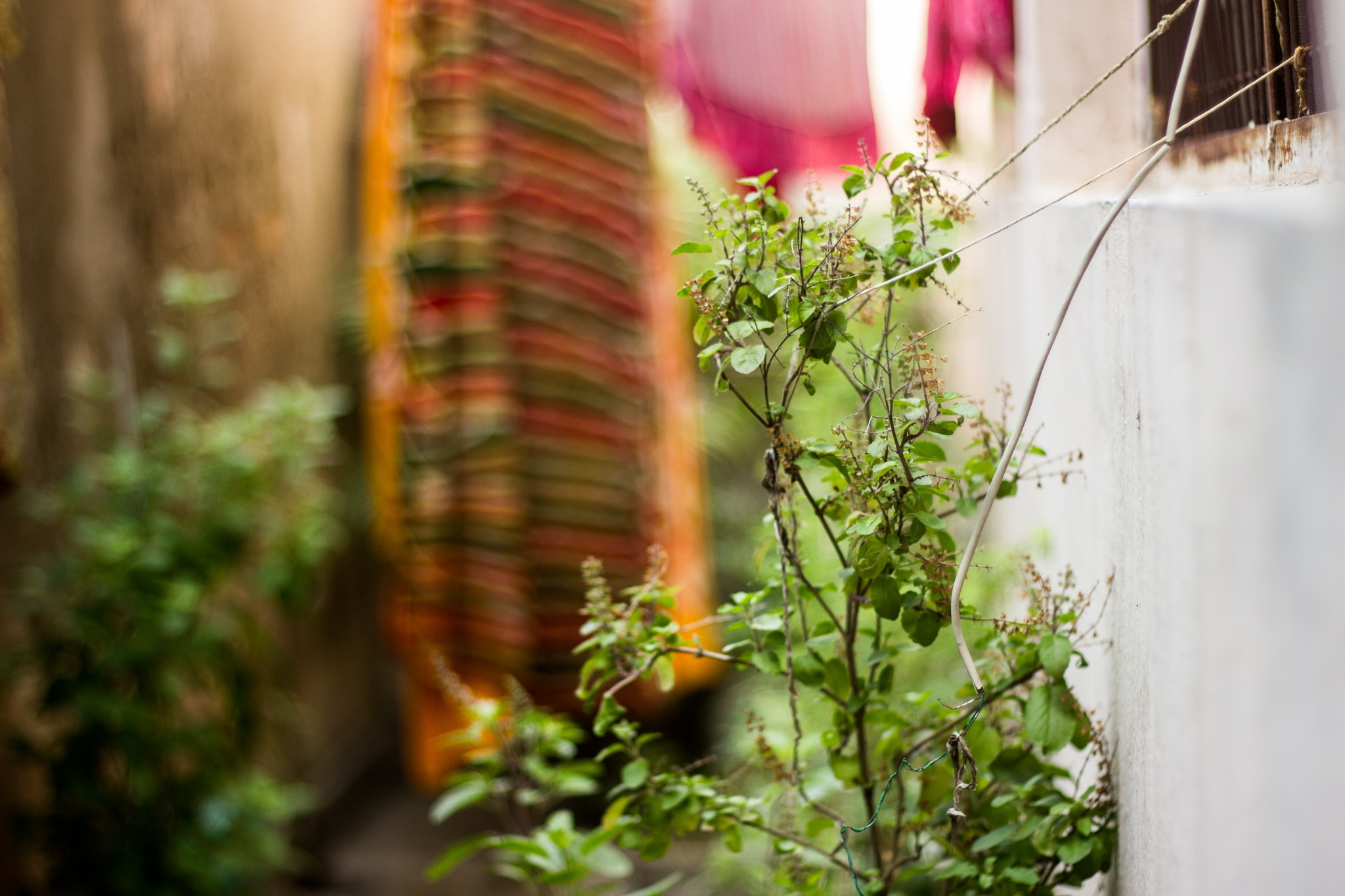 Photo in Still Life #basil #tulsi #plant #holy basil