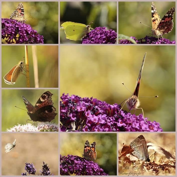 Vlinders by Alie