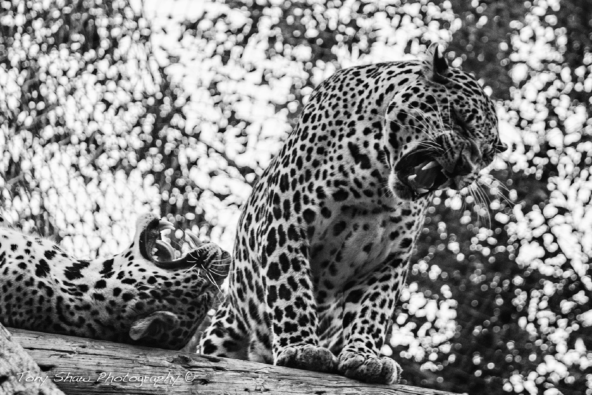 Big Cats by Tony Shaw