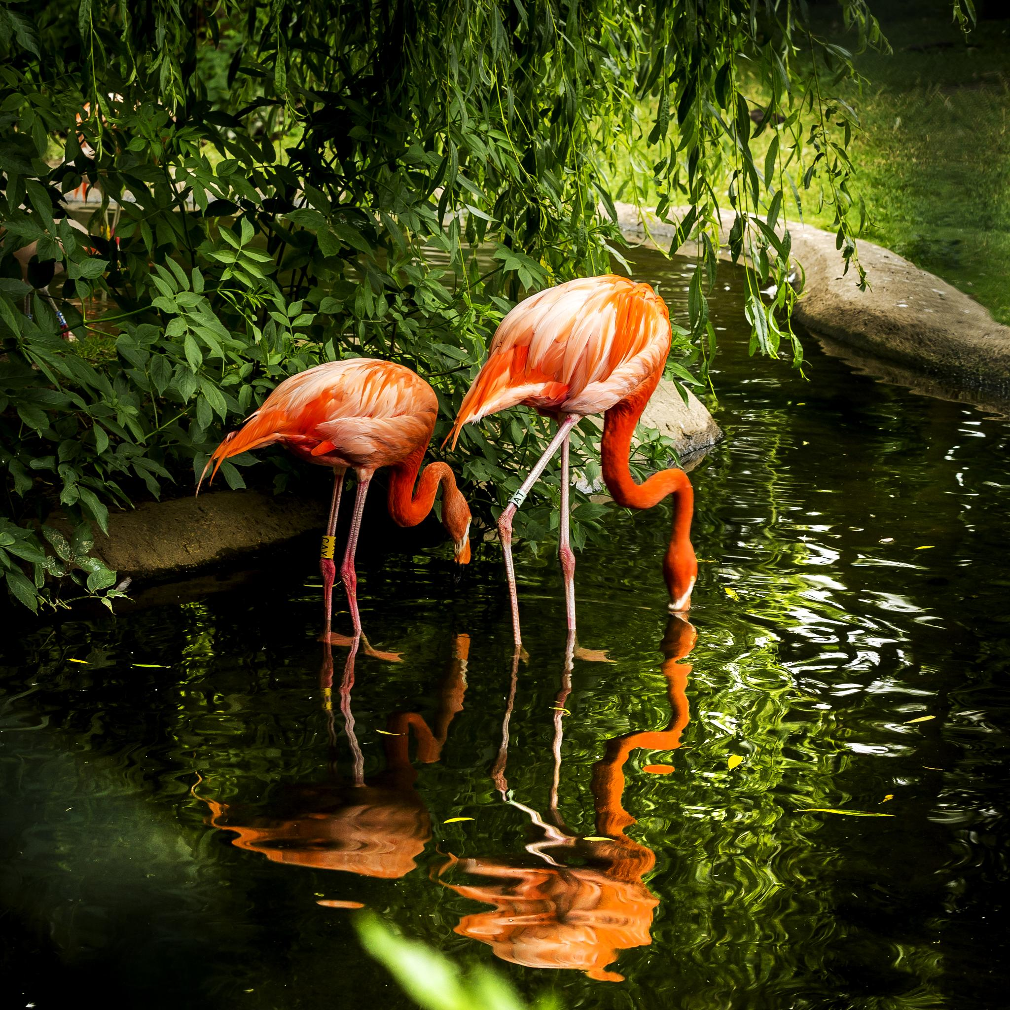 Flamingos by Tony Shaw