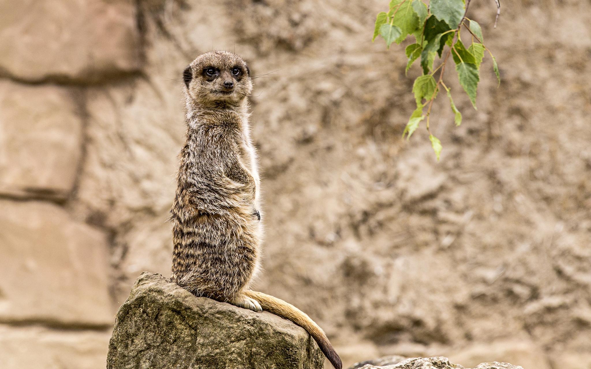 Meerkat by Tony Shaw