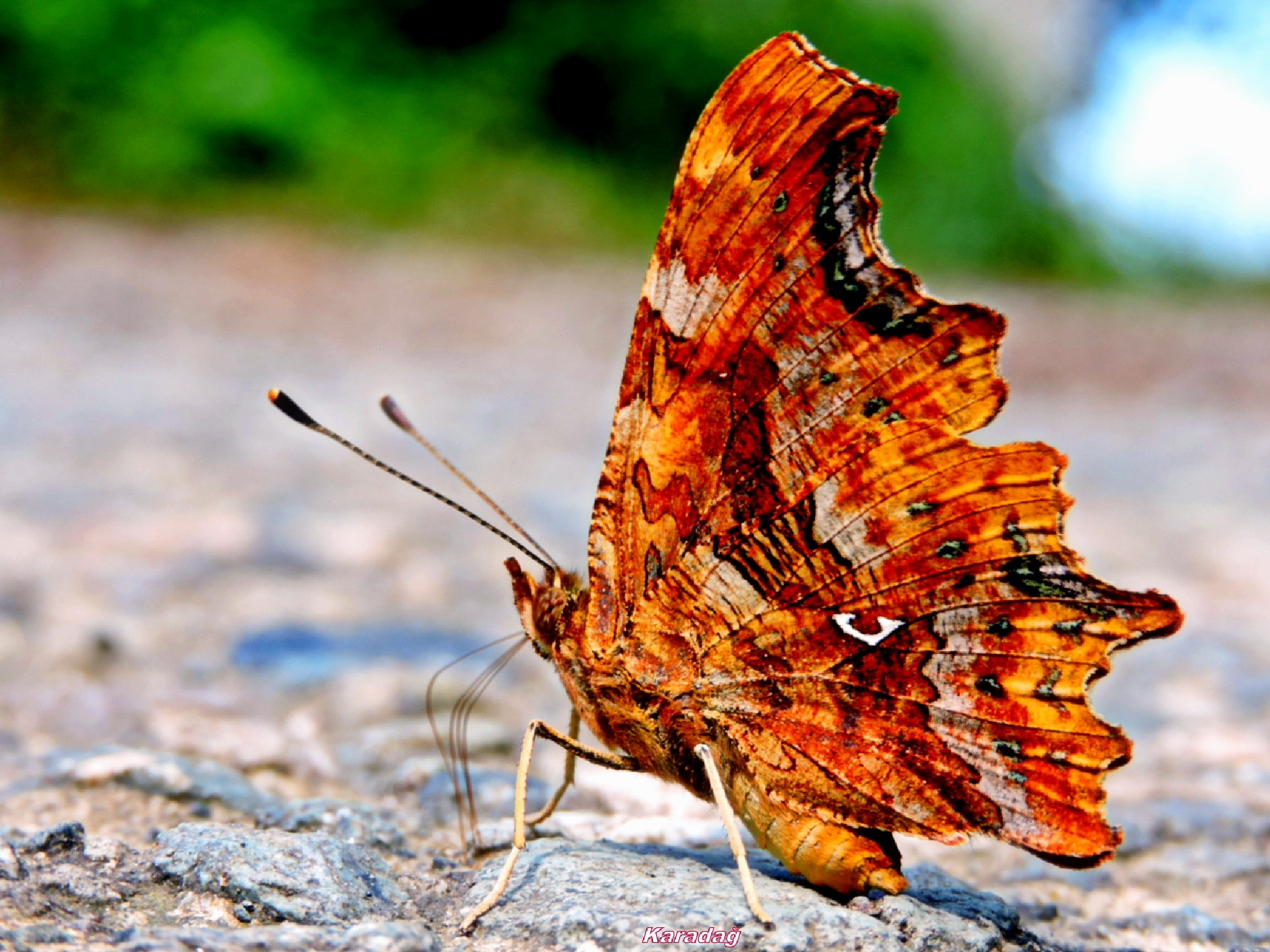 Yırtık pırtık kelebeği... by Karadag