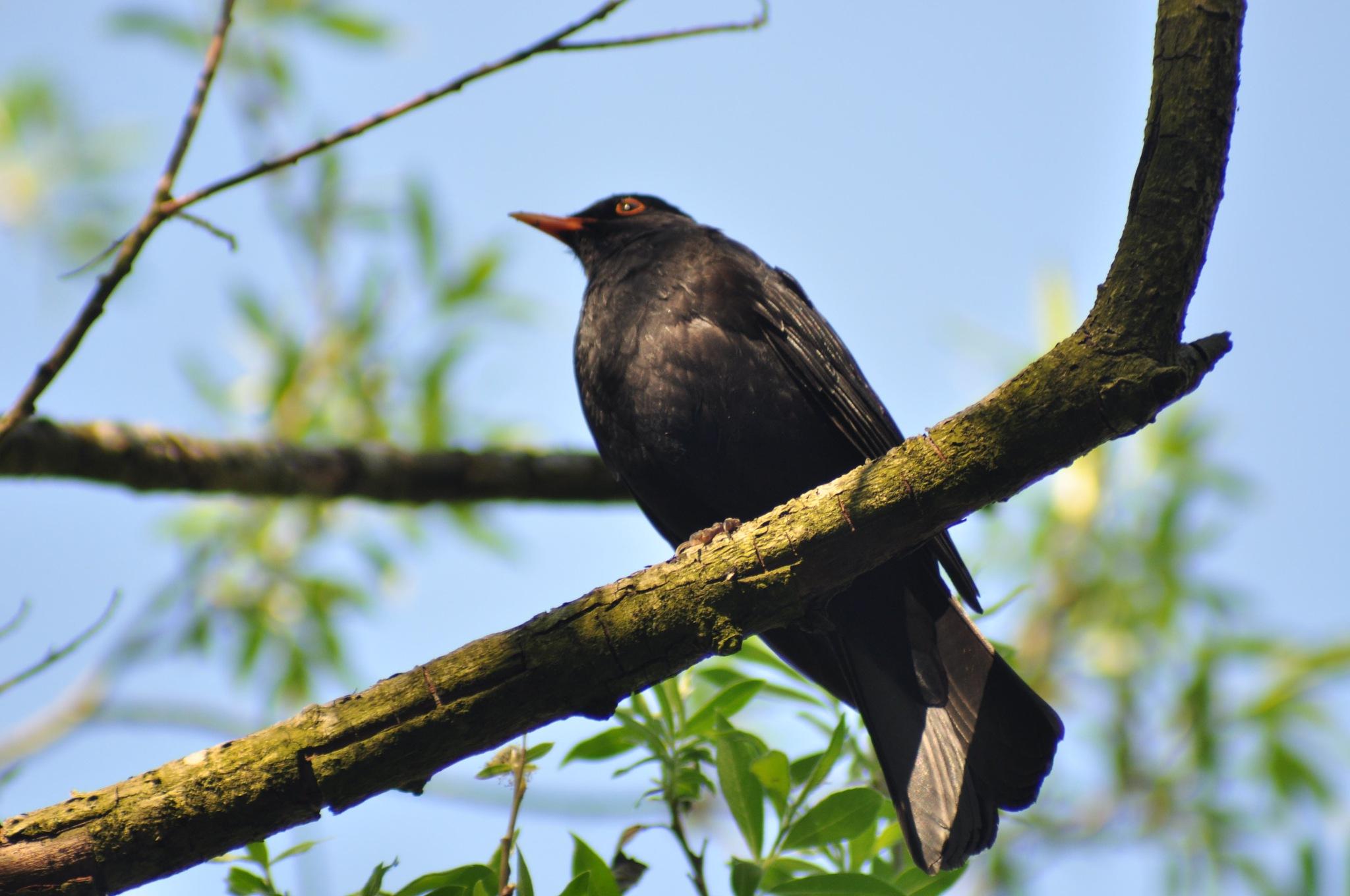 Blackbird by Dag Olav Øverland