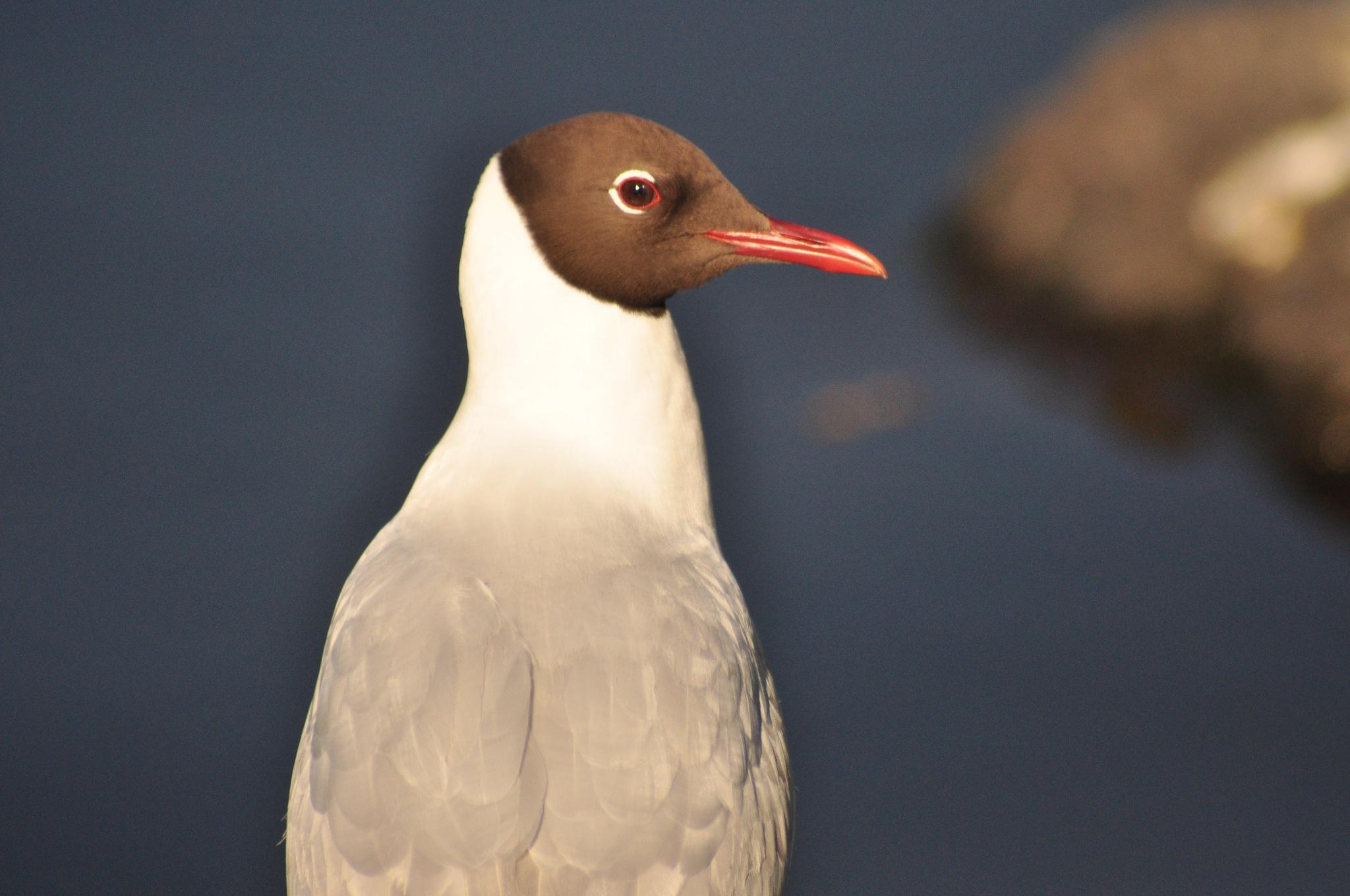 Black-headed gull by Dag Olav Øverland