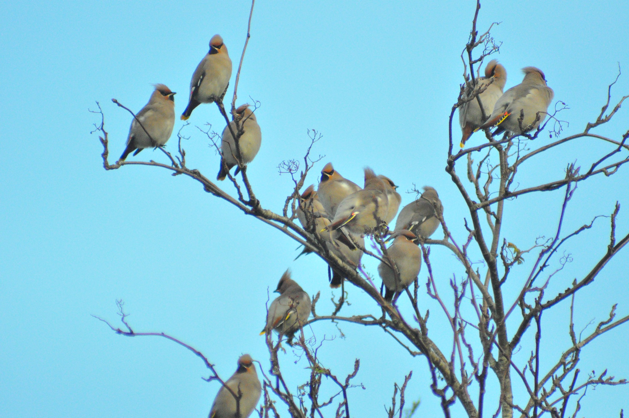 Bohemian waxwings crowd by Dag Olav Øverland