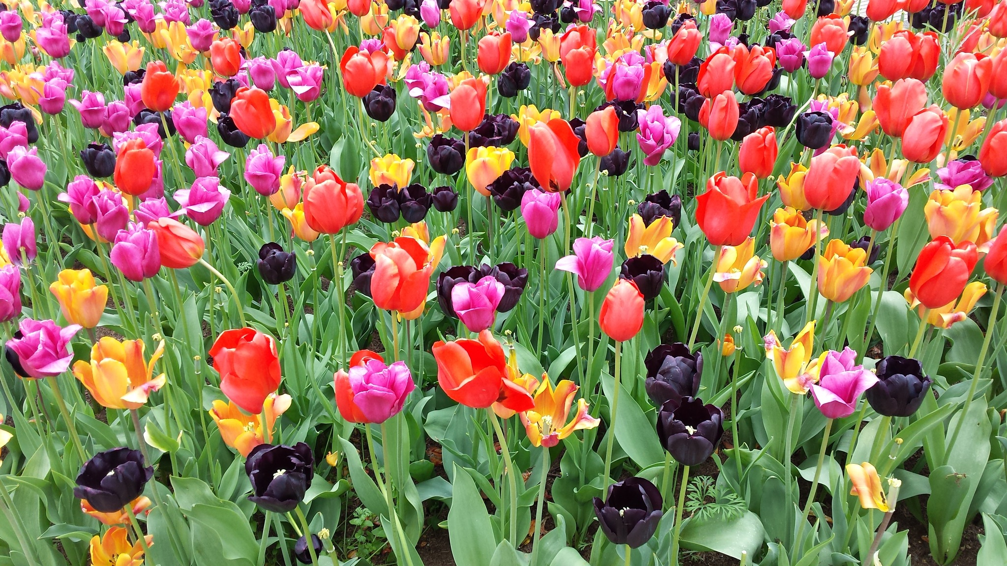 Tulips ..... and more Tulips. by Ron Thornton