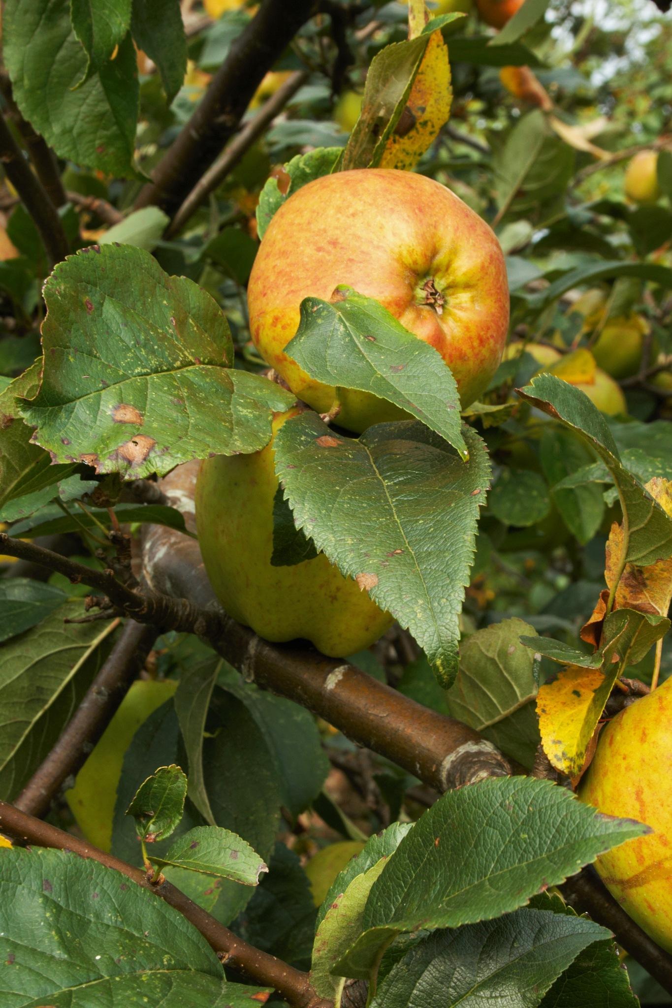 Close up Apple by AmatorOjeblikke