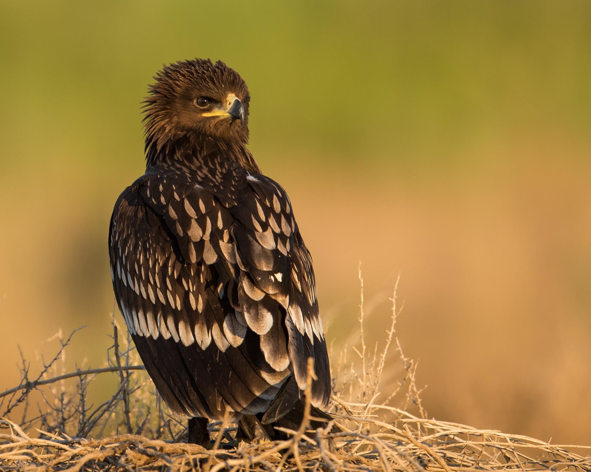 Great Spotted Eagle by Abdullah E Al shatti