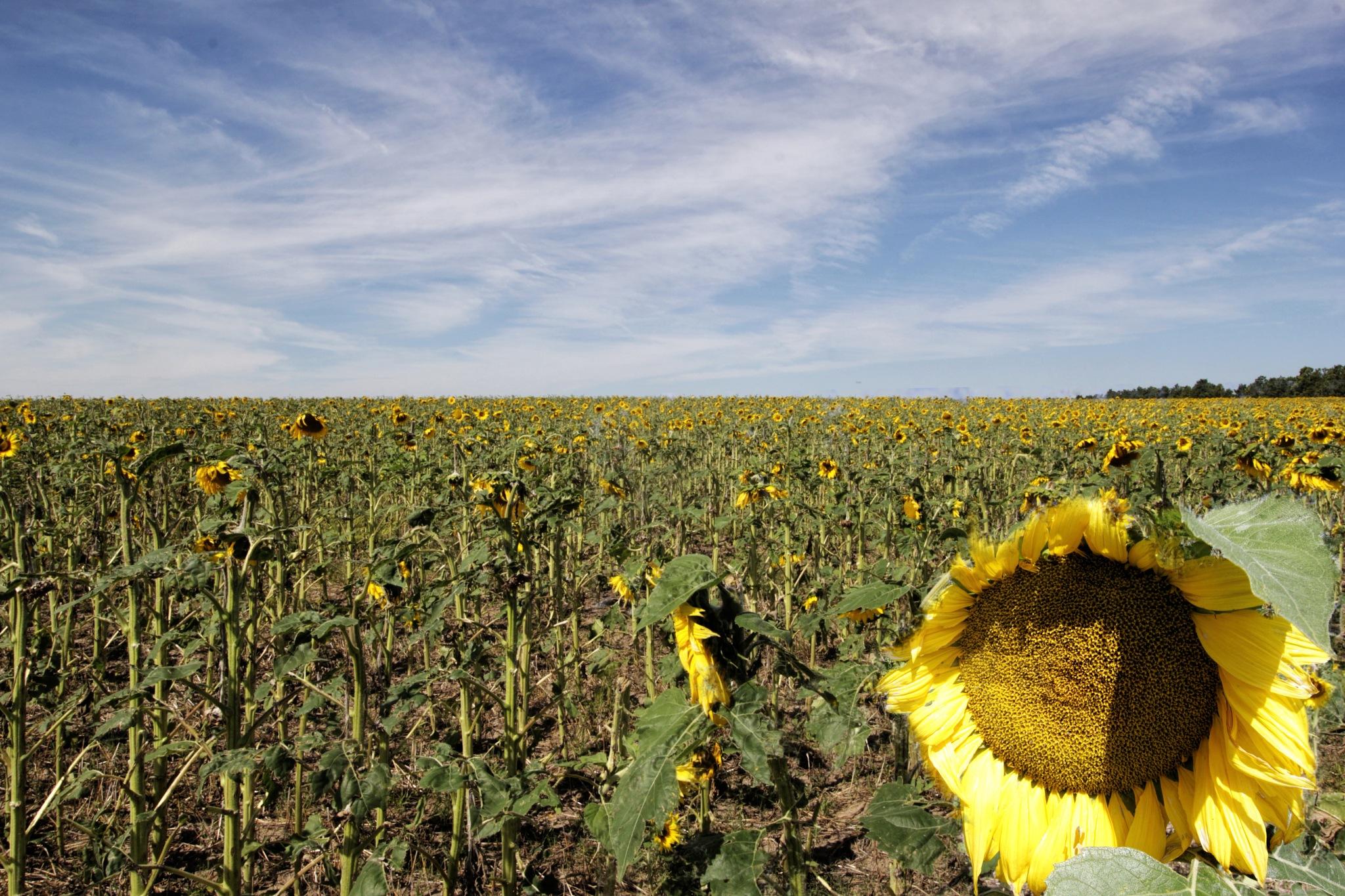 Sunflower Fields by kstand