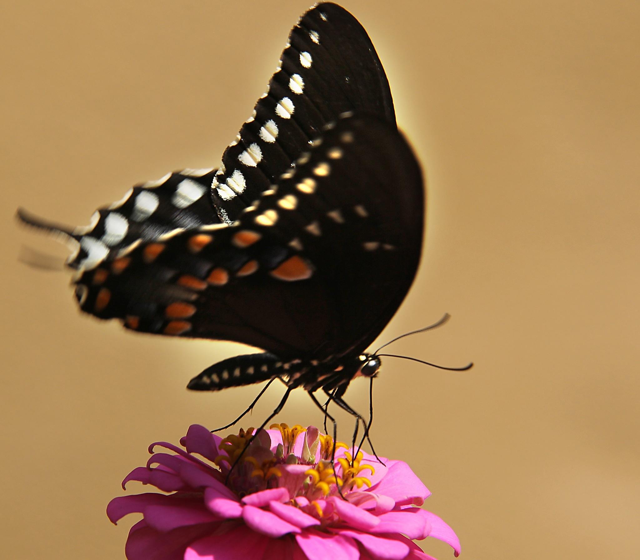 Black Beauty by kstand