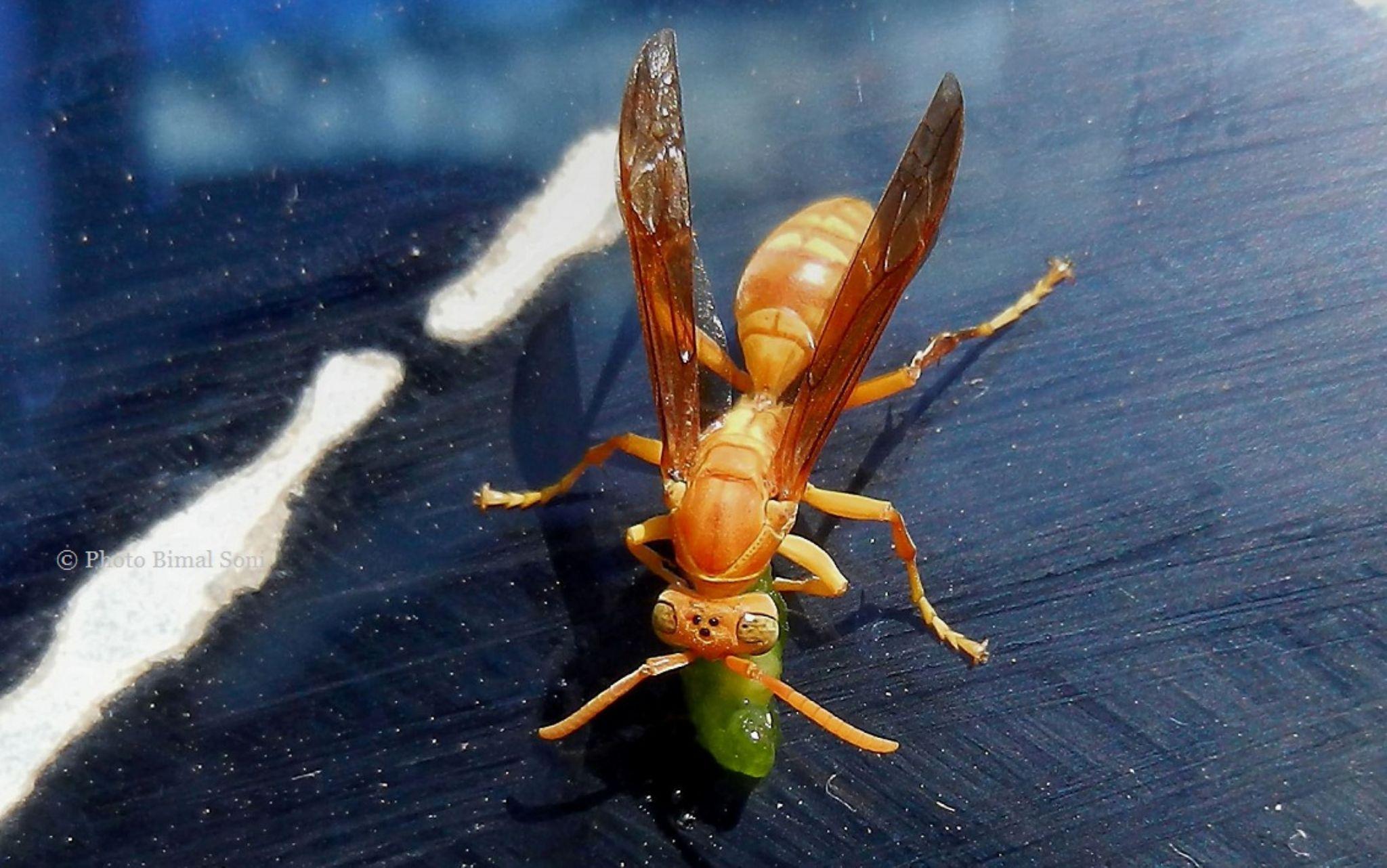 Yellow_Wasp by Bimal Soni