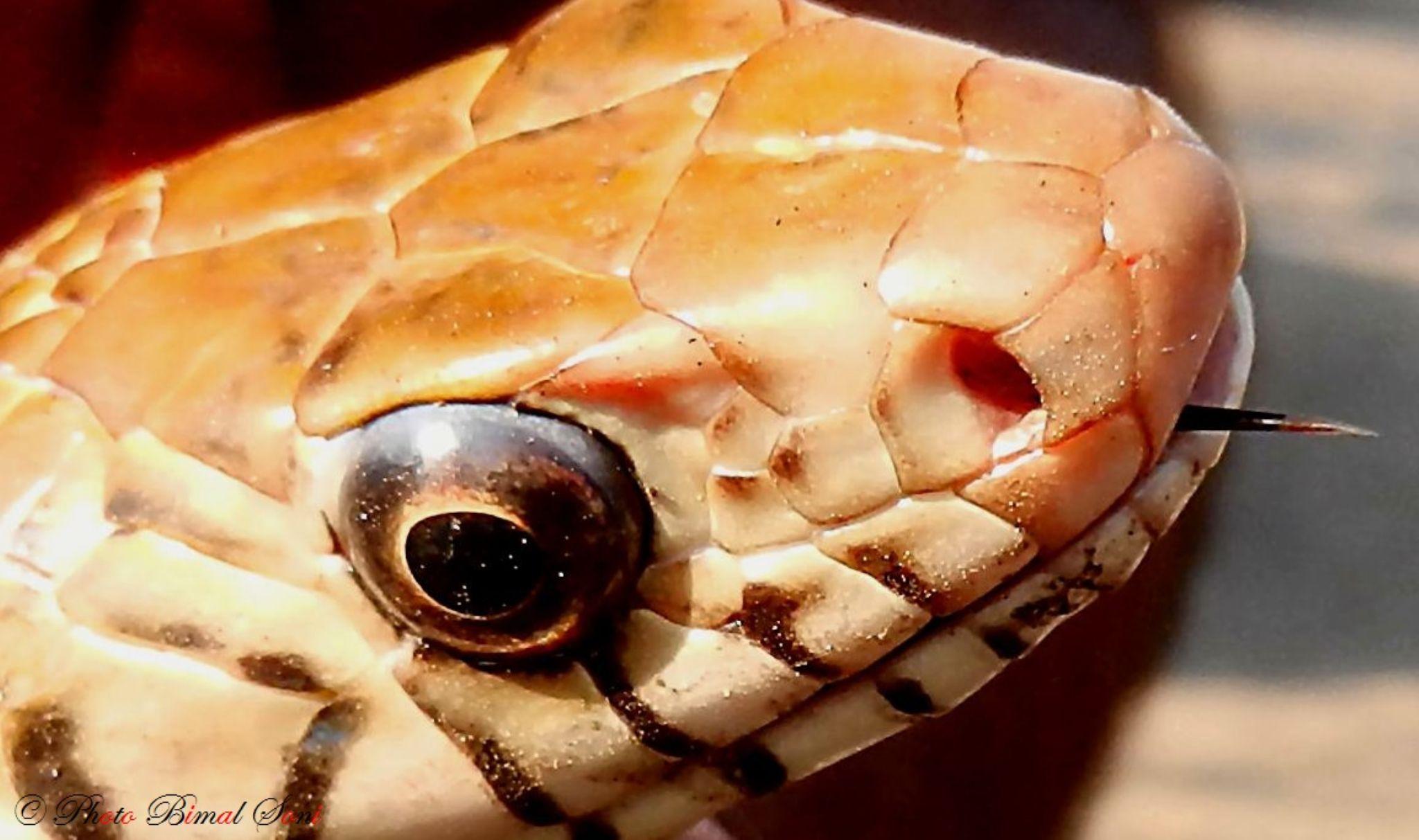 Rat_Snake by Bimal Soni