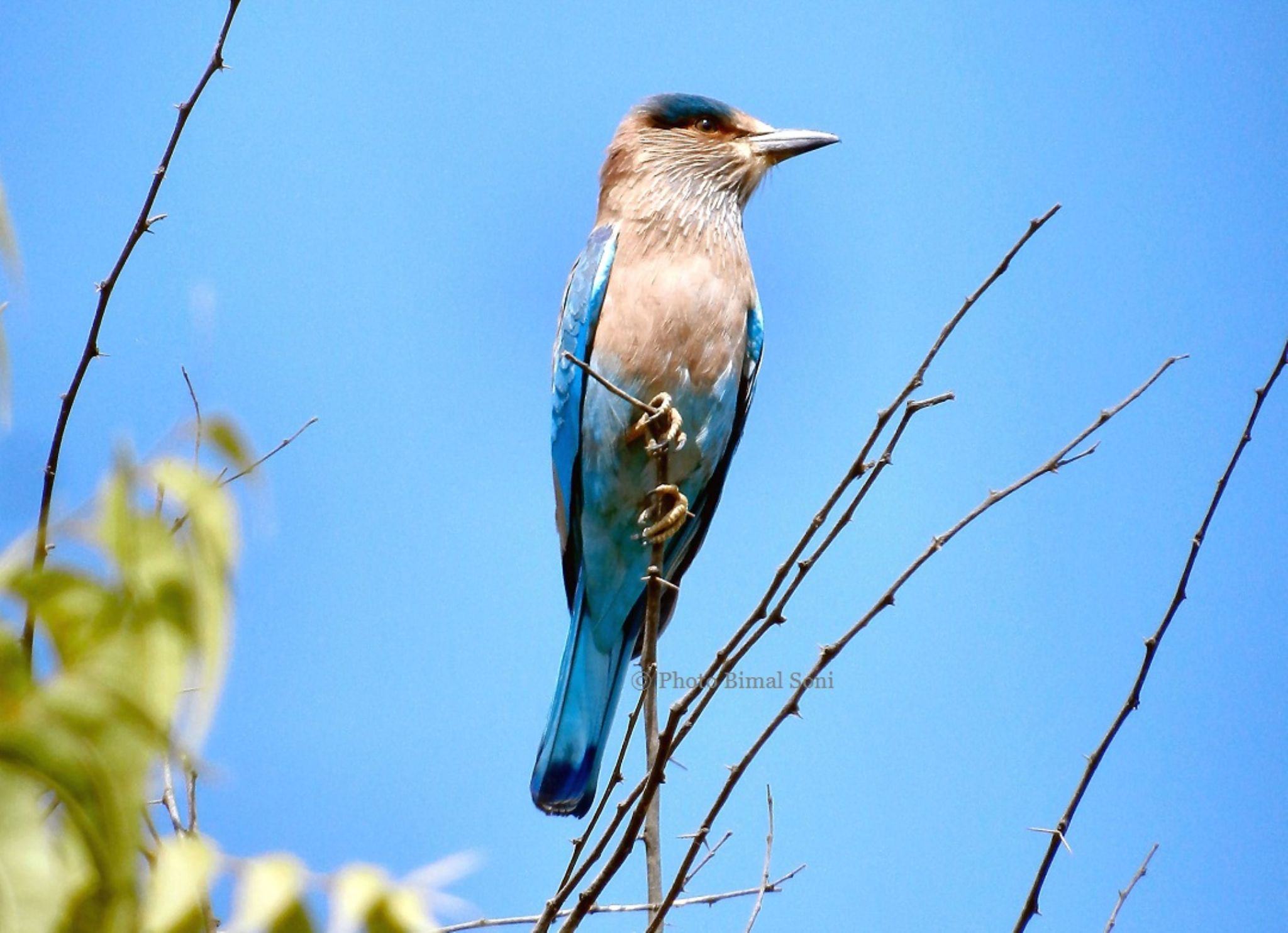Indian_Roller by Bimal Soni