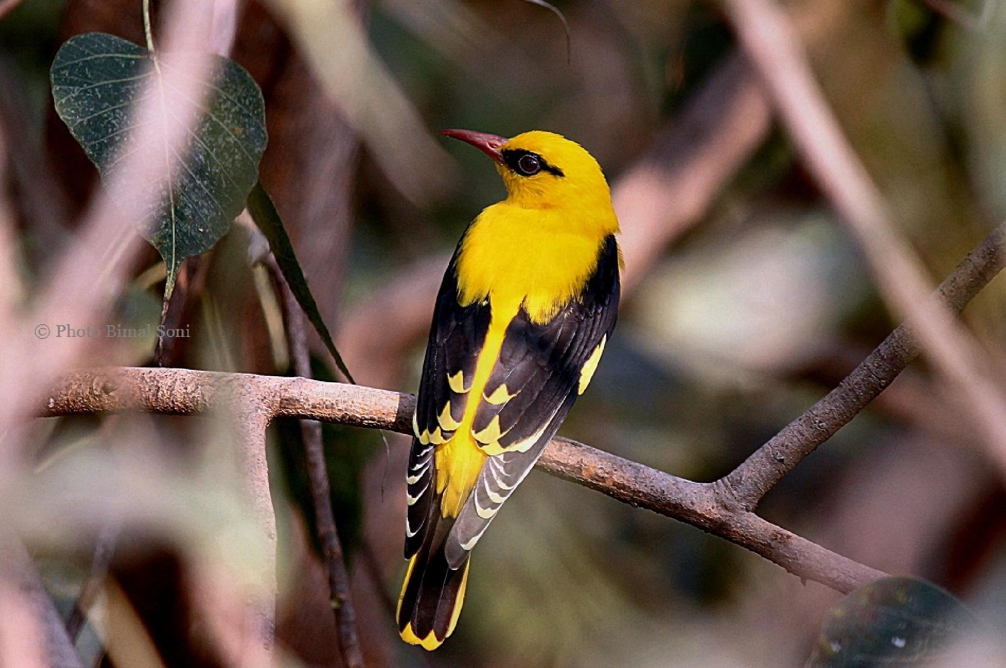 Indian_golden_oriole (male) by Bimal Soni