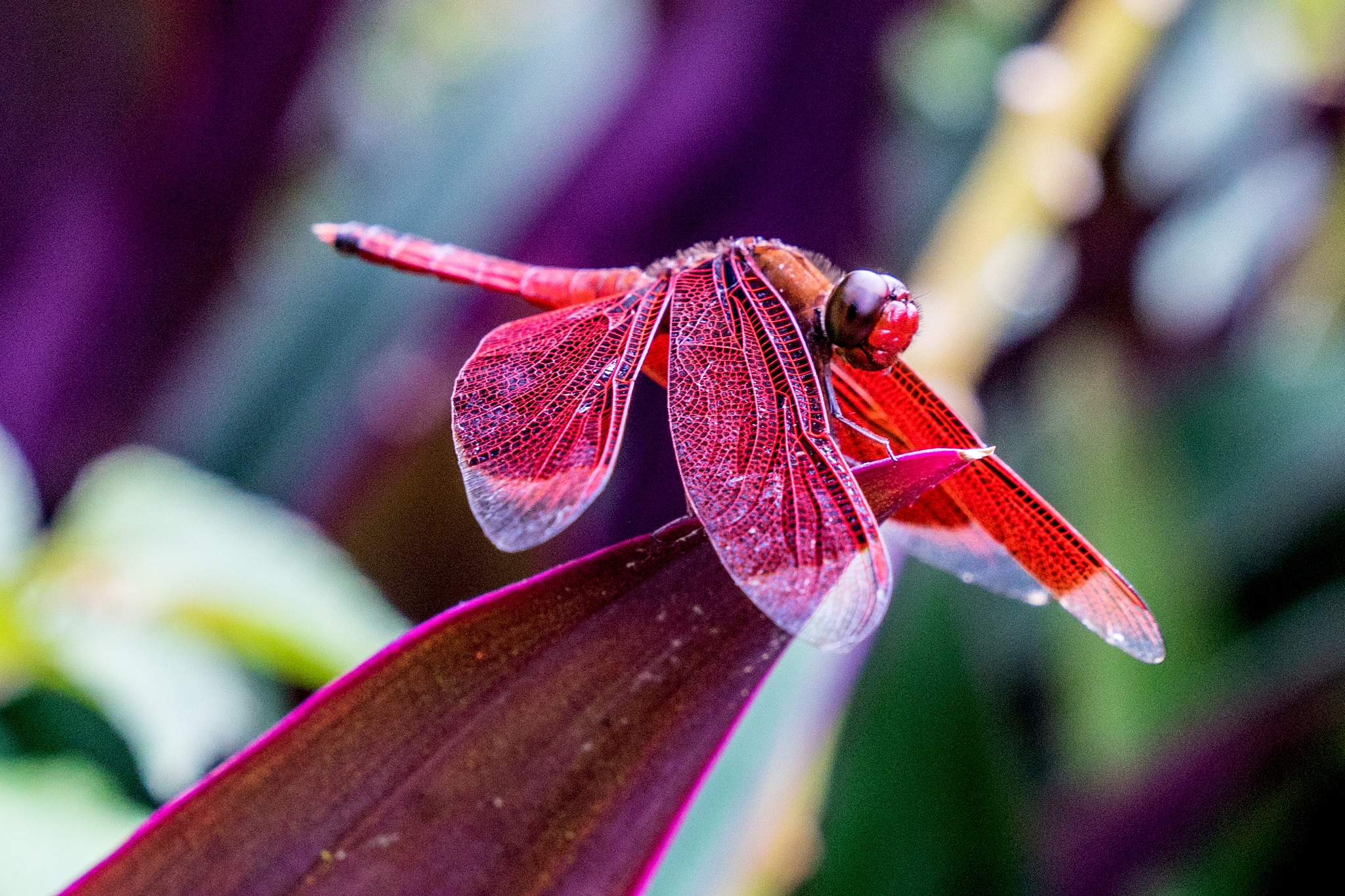 Red Dragon-fly by Fotomotions