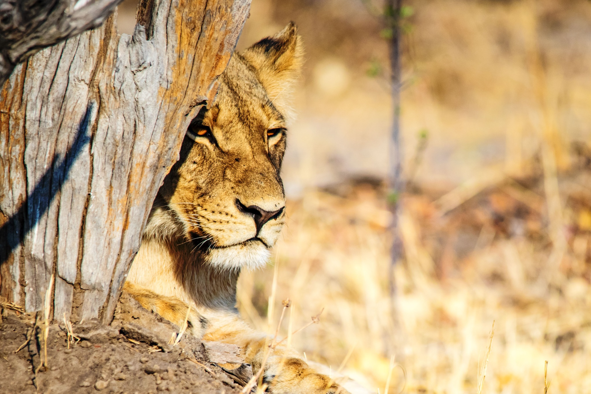 Löwenweibchen - Lion female by Fotomotions