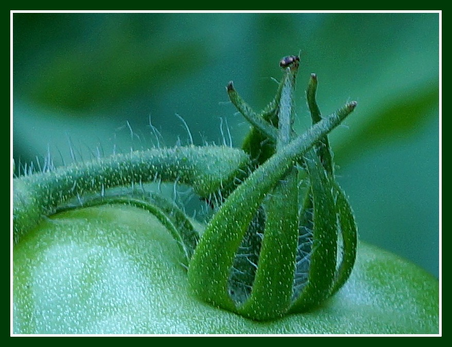 King of the Tomato Plant by rpierce