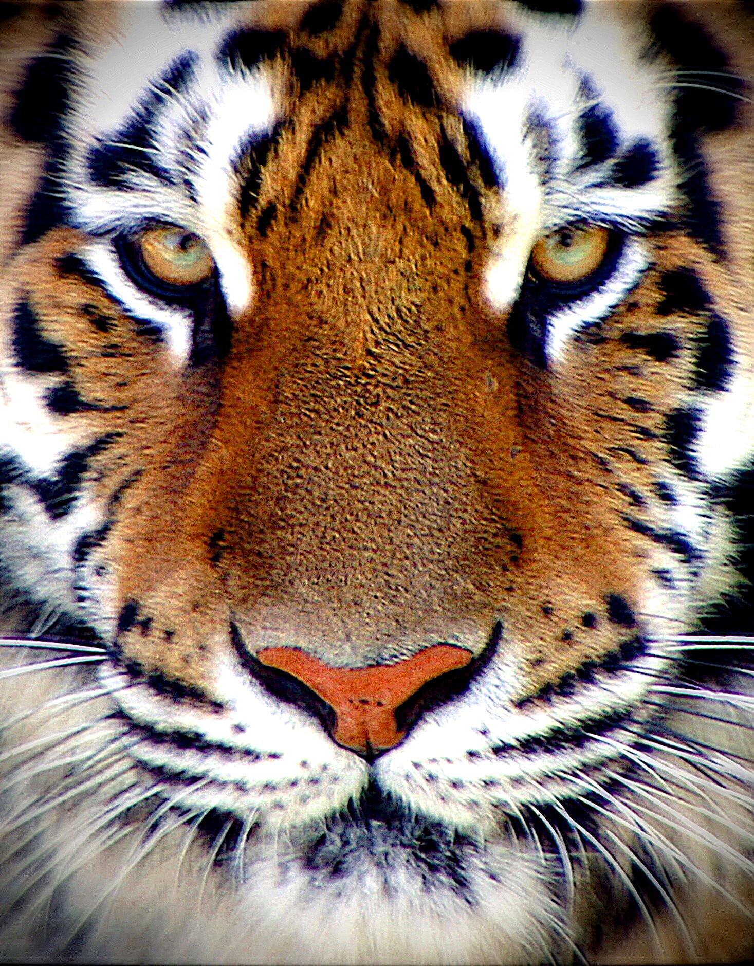 Tiger Face by Stuart Rosenthal