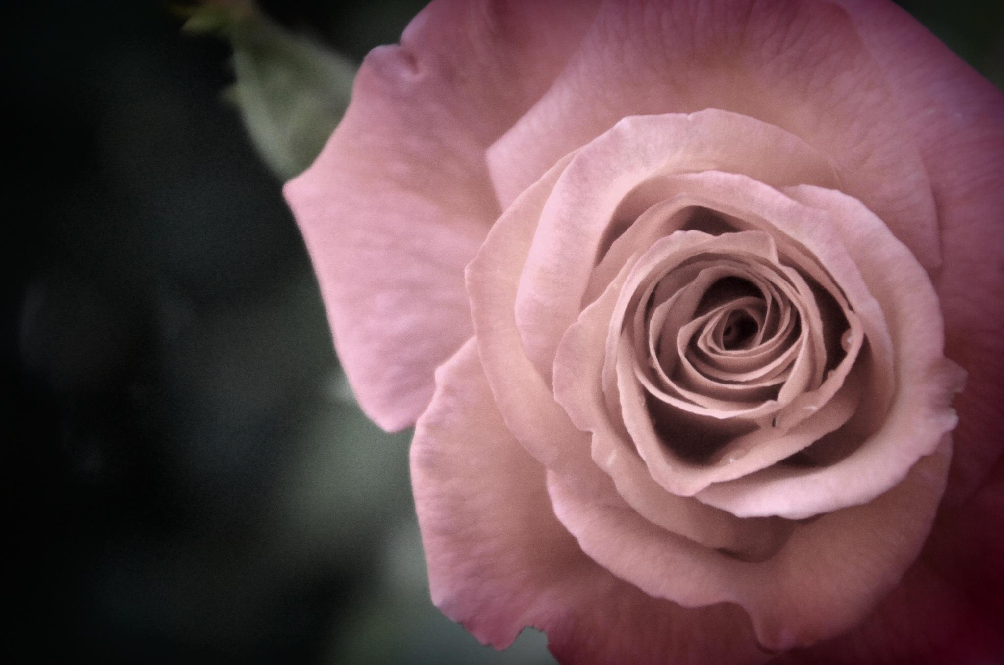 The Rose by chrisbitschnau
