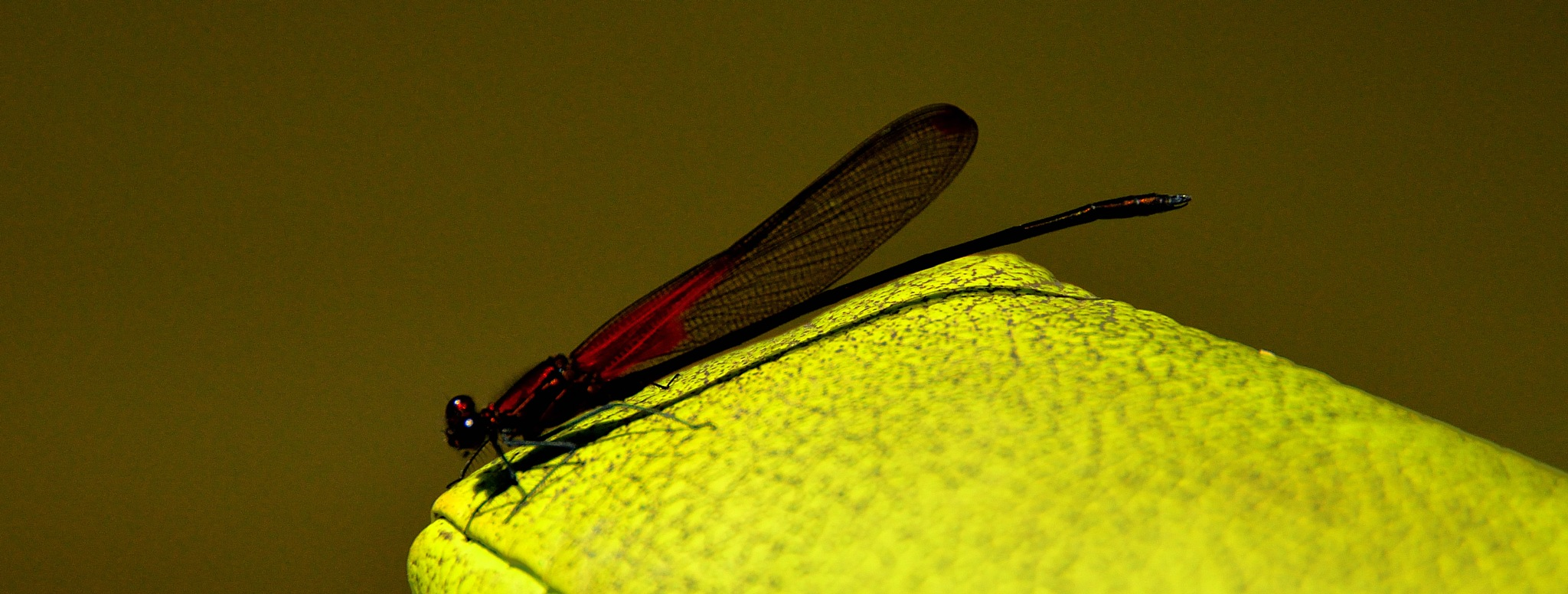 Dragonfly by CaballerodeGracia