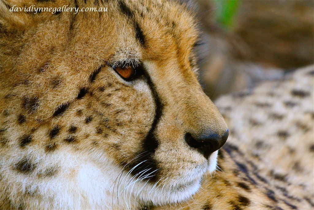 """Cheetah"" by LynnePhotography"