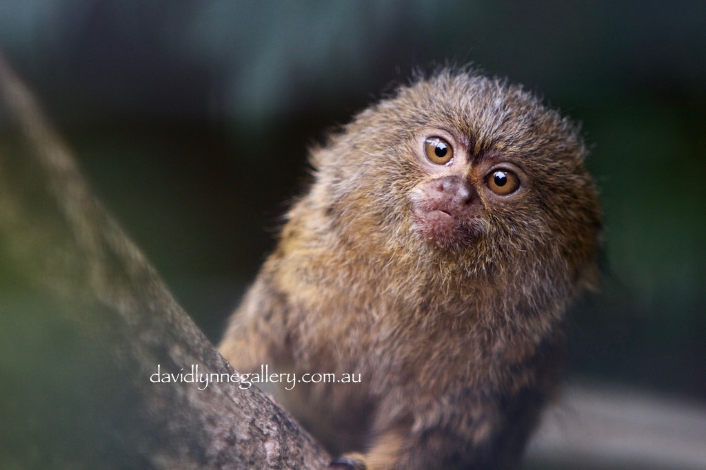 """Pygmy Monkey"" by LynnePhotography"