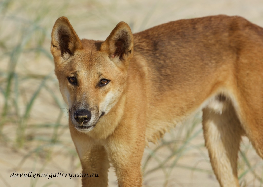 Dingos on Fraser Island are the purest in Australia by LynnePhotography
