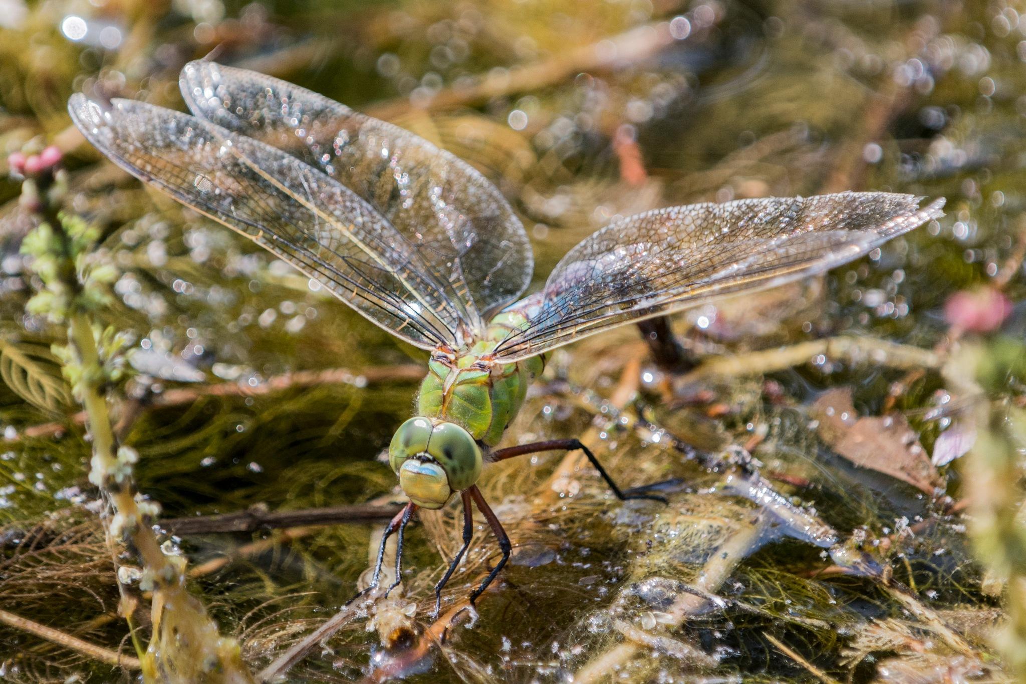 Dragonfly laying eggs by Ruud van Leeuwen