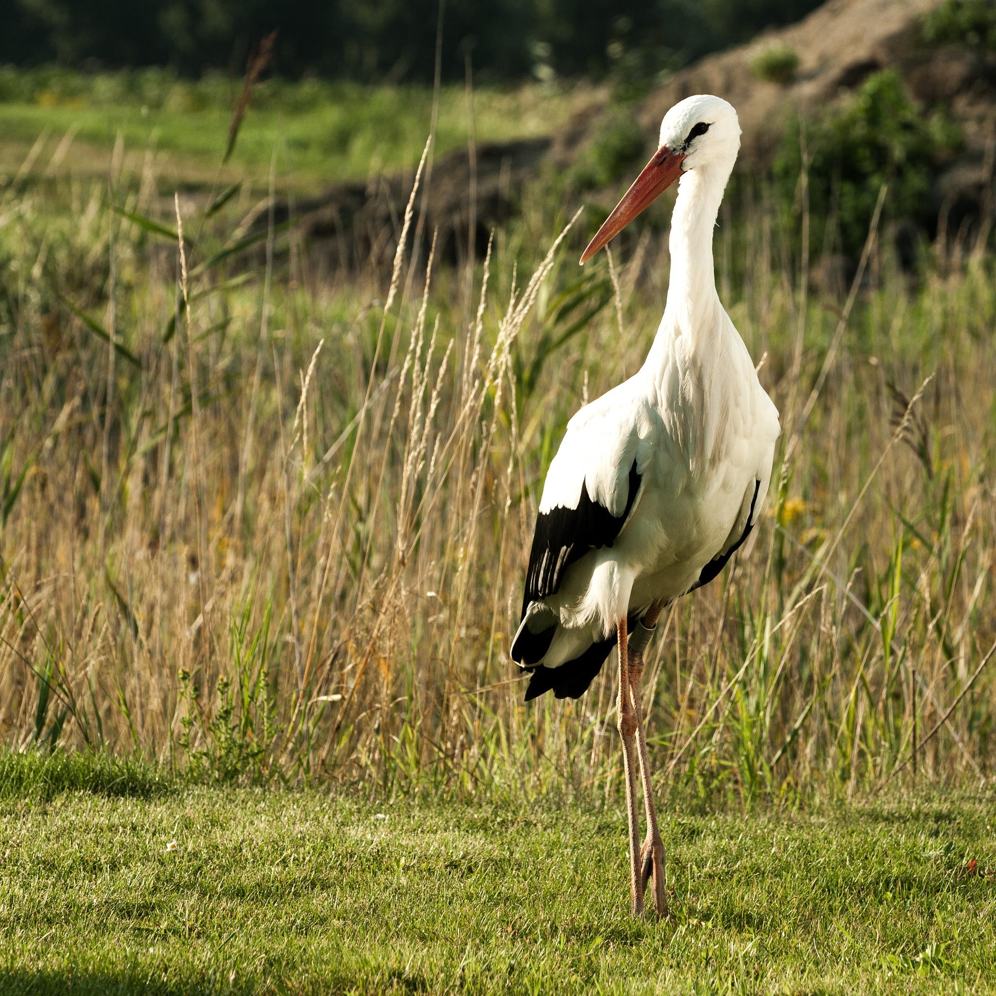 Stork by Ruud van Leeuwen