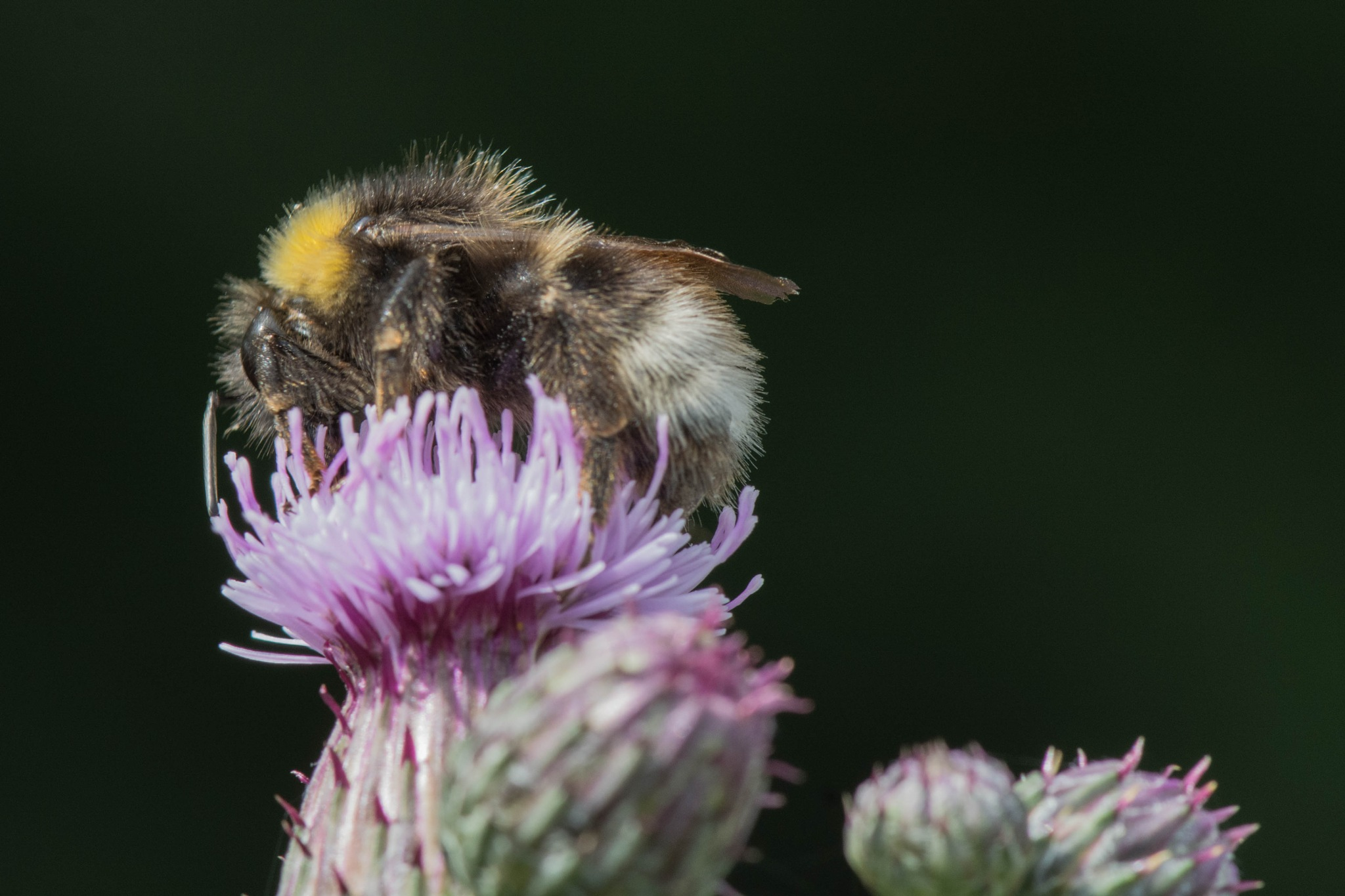 Bumblebee by Ruud van Leeuwen
