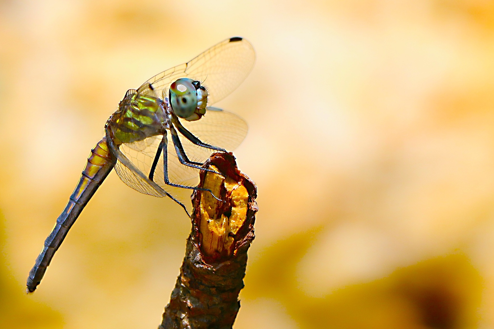 Young Blue Dasher by MyMagnolia